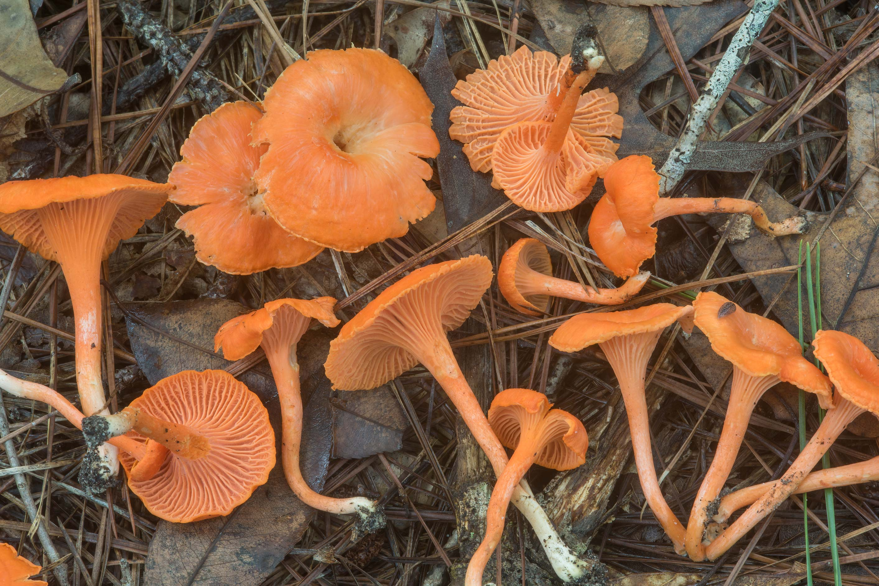 Cinnabar-red chanterelle mushrooms (Cantharellus...National Forest near Huntsville. Texas