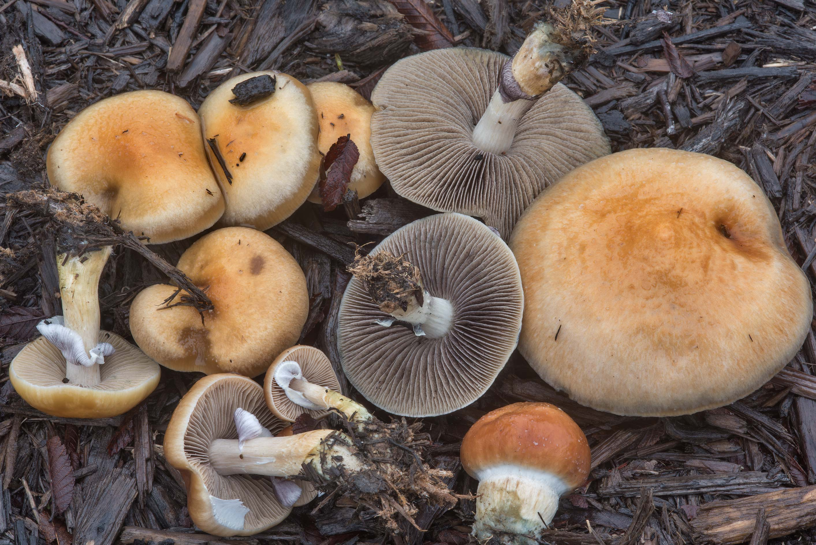 Psychedelic mushrooms Psilocybe cubensis on mulch...Creek Park. College Station, Texas
