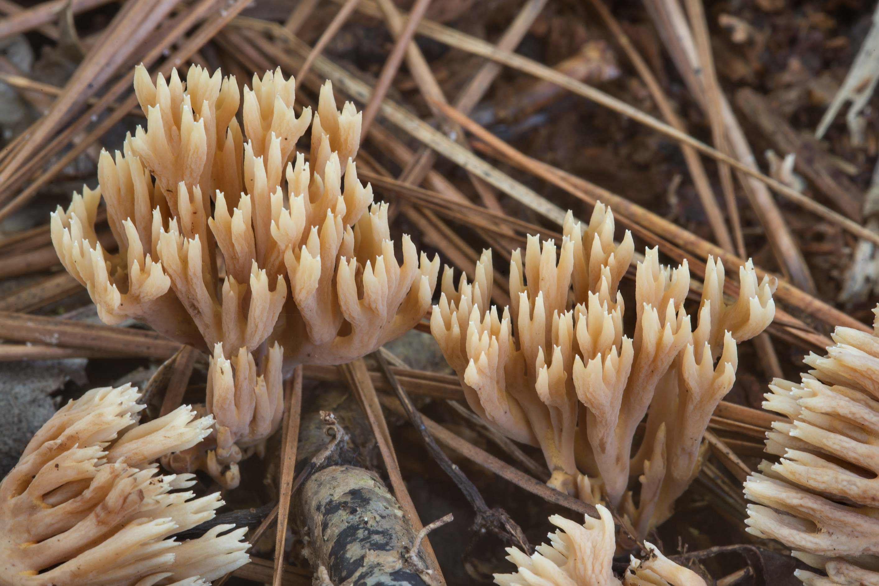 Coral mushrooms Ramaria in a pine forest in Huntsville State Park. Texas