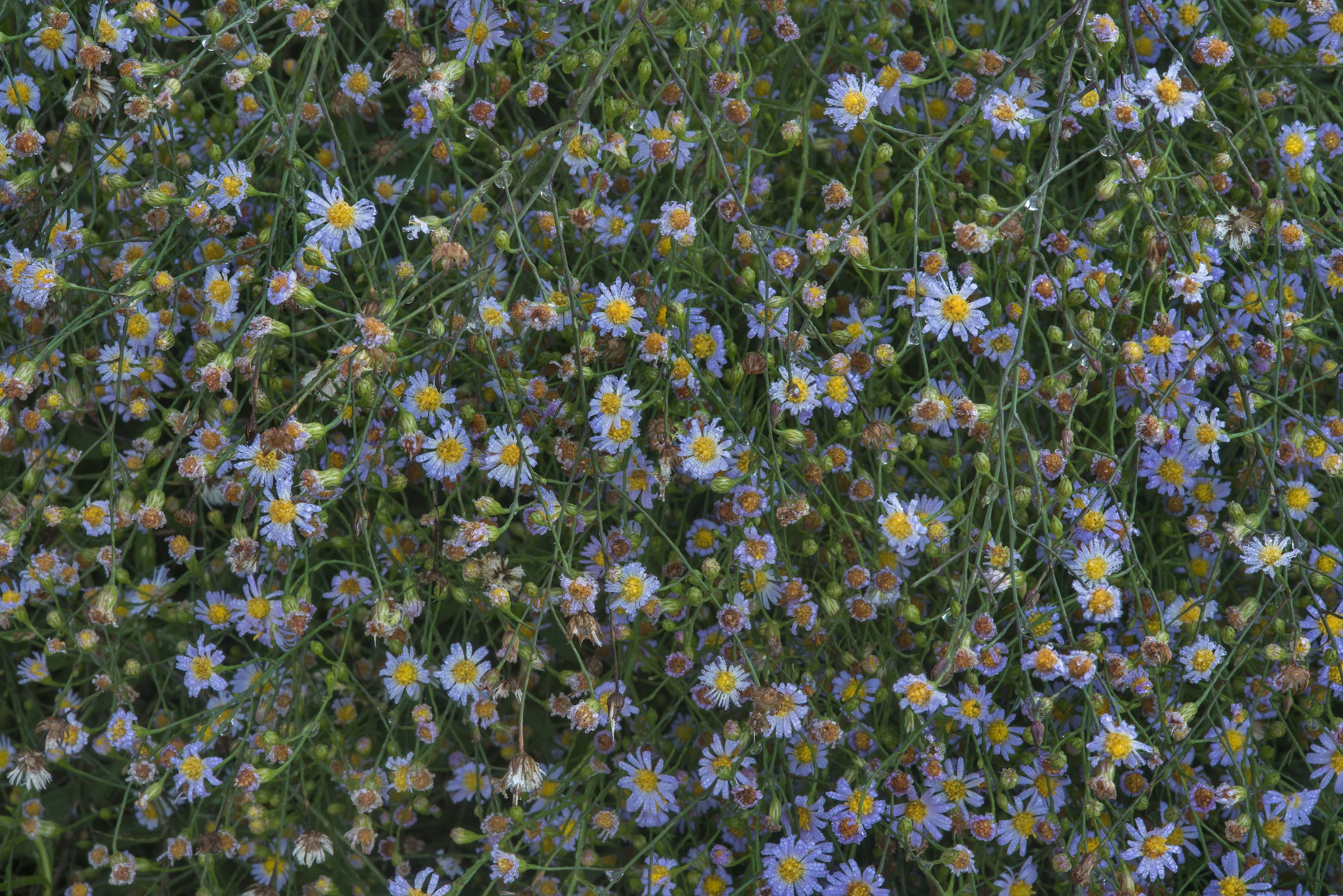 Small blue aster flowers in a former pond area in...State Historic Site. Washington, Texas