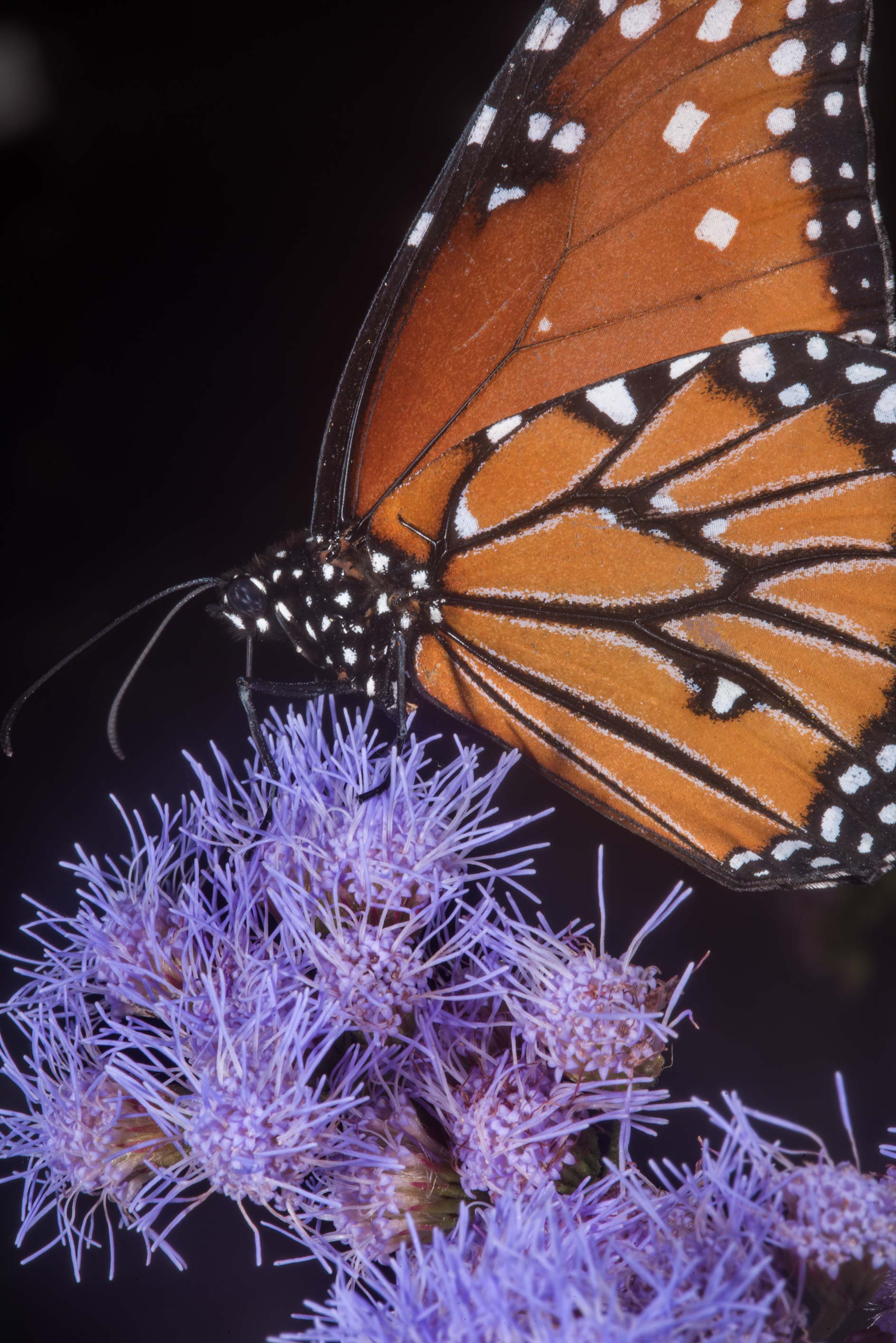 Close up of monarch butterfly on mistflower in Antique Rose Emporium. Independence, Texas