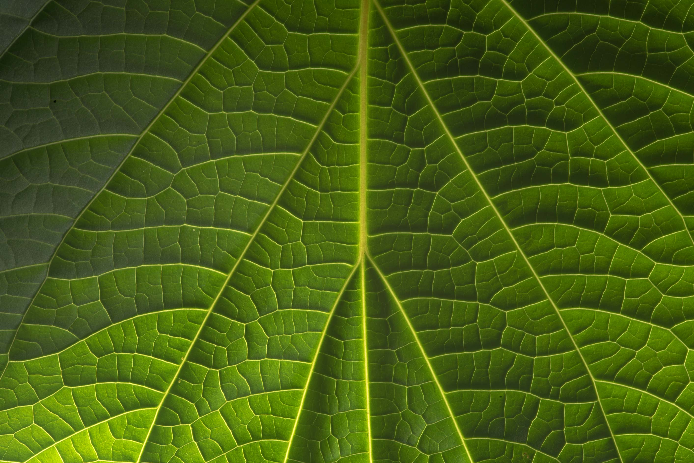 Back lit venation of a catalpa leaf in Antique Rose Emporium. Independence, Texas