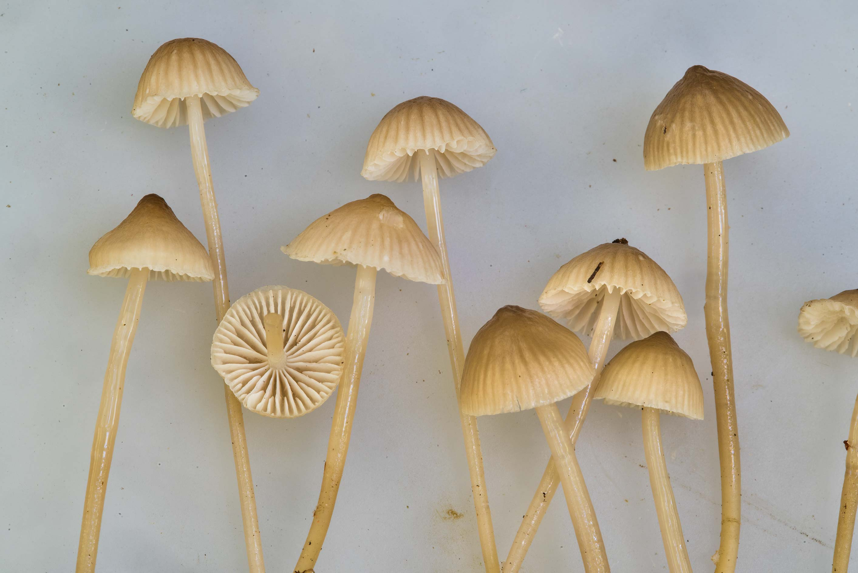 Close up of bonnet mushrooms Mycena clavicularis...National Forest near Huntsville. Texas