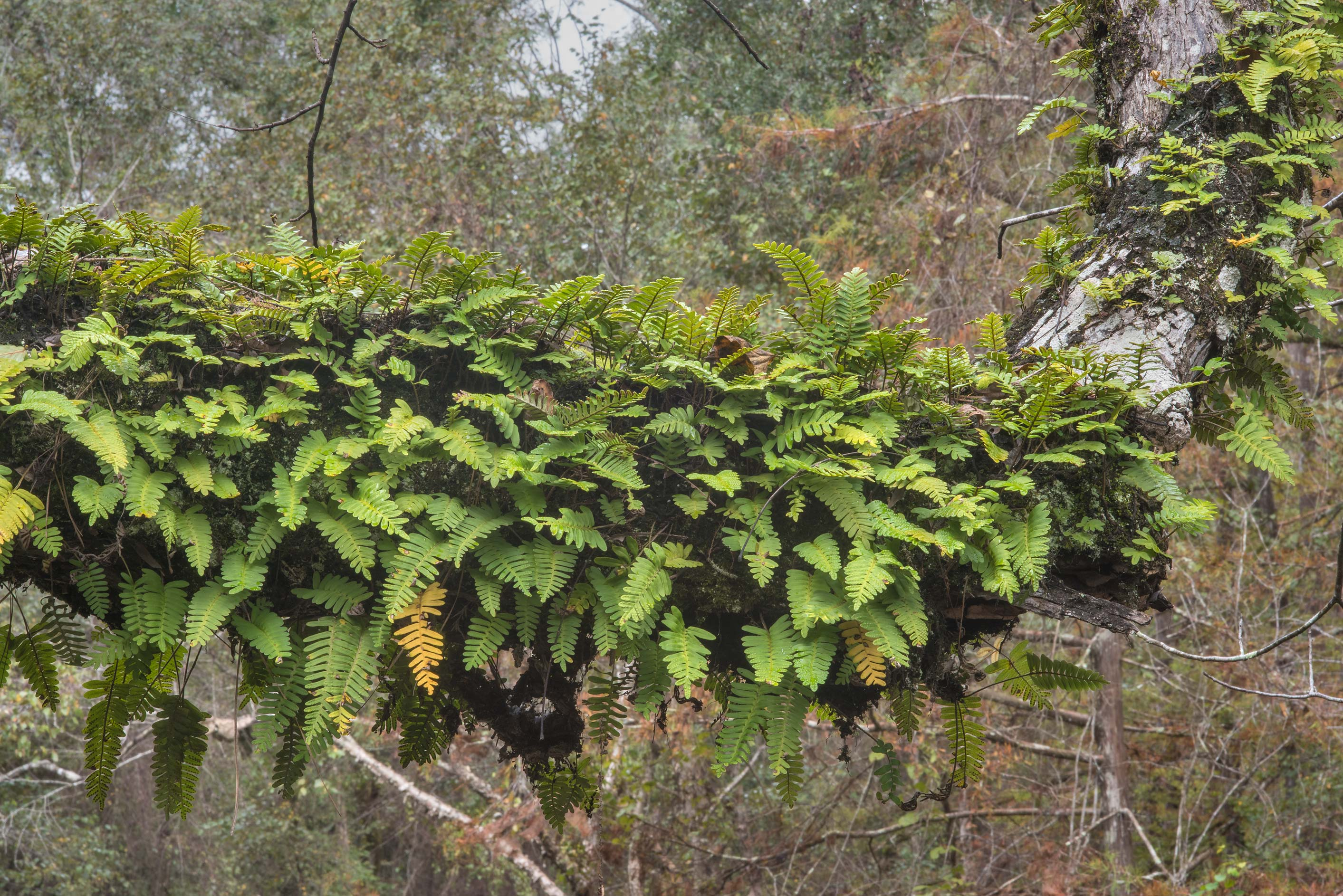 Resurrection fern (Pleopeltis polypodioides) on...National Preserve. Warren, Texas