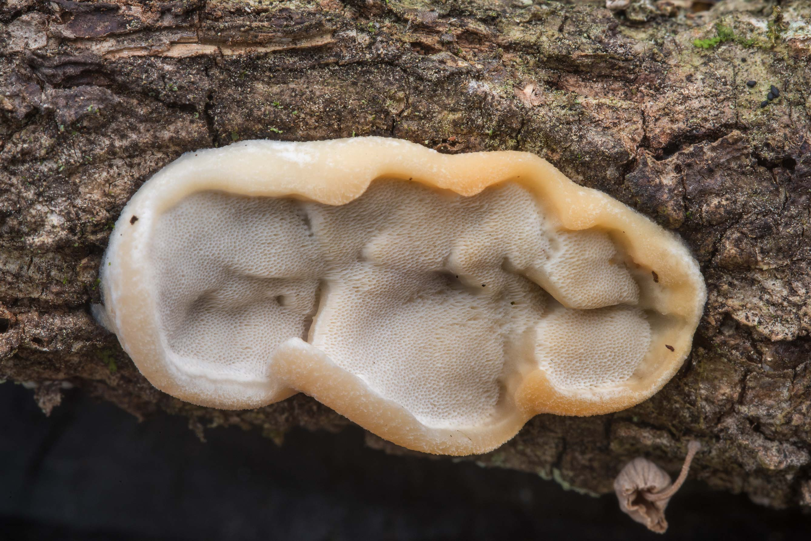 Ear-like polypore mushroom on a fallen oak on...National Forest. Richards, Texas