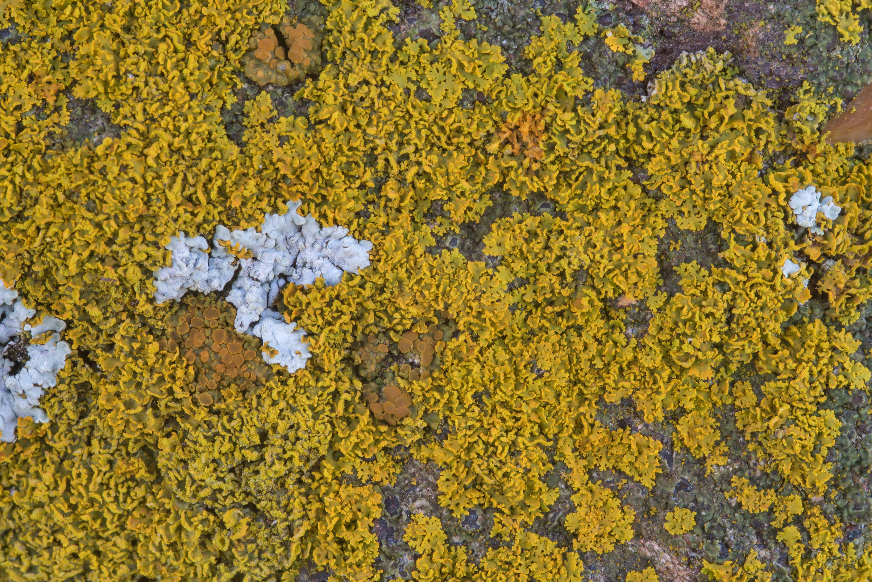 Orange lichen on sandstone at the base of the CCC...in Bastrop State Park. Bastrop, Texas