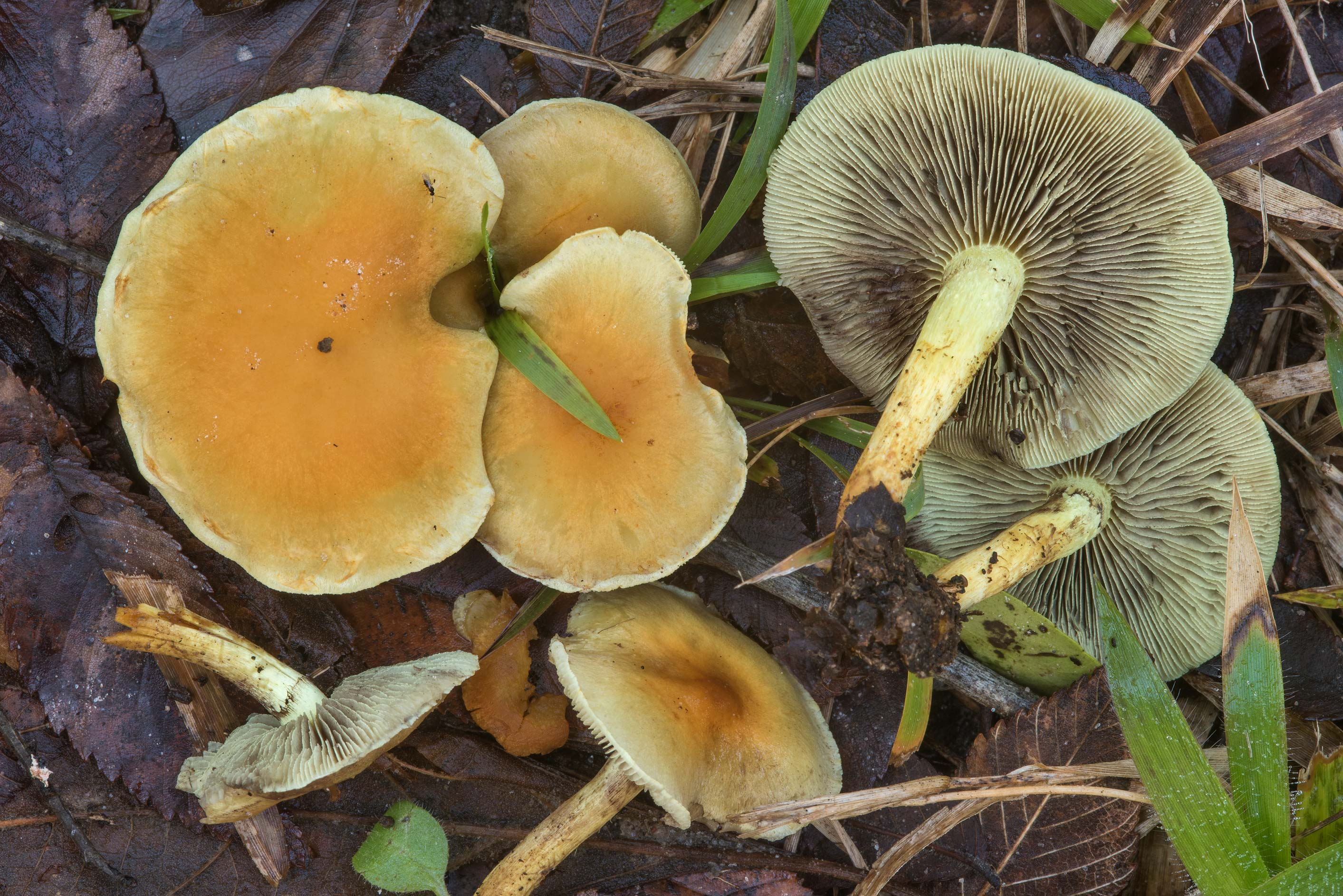 Sulphur tuft mushrooms (Hypholoma fasciculare) on...Creek Park. College Station, Texas