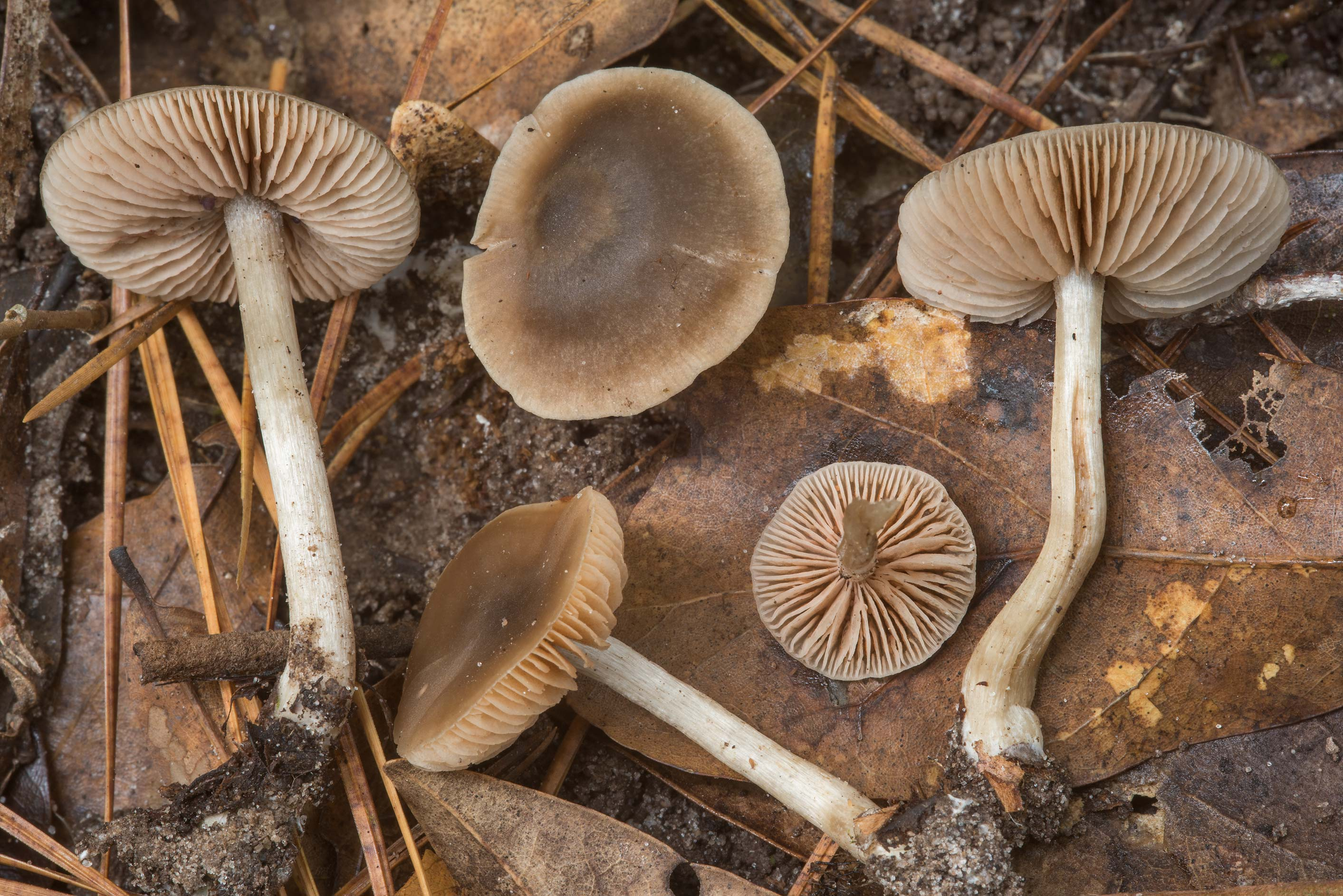 Group of pinkgill (Entoloma) mushrooms with black...National Forest. Shepherd, Texas