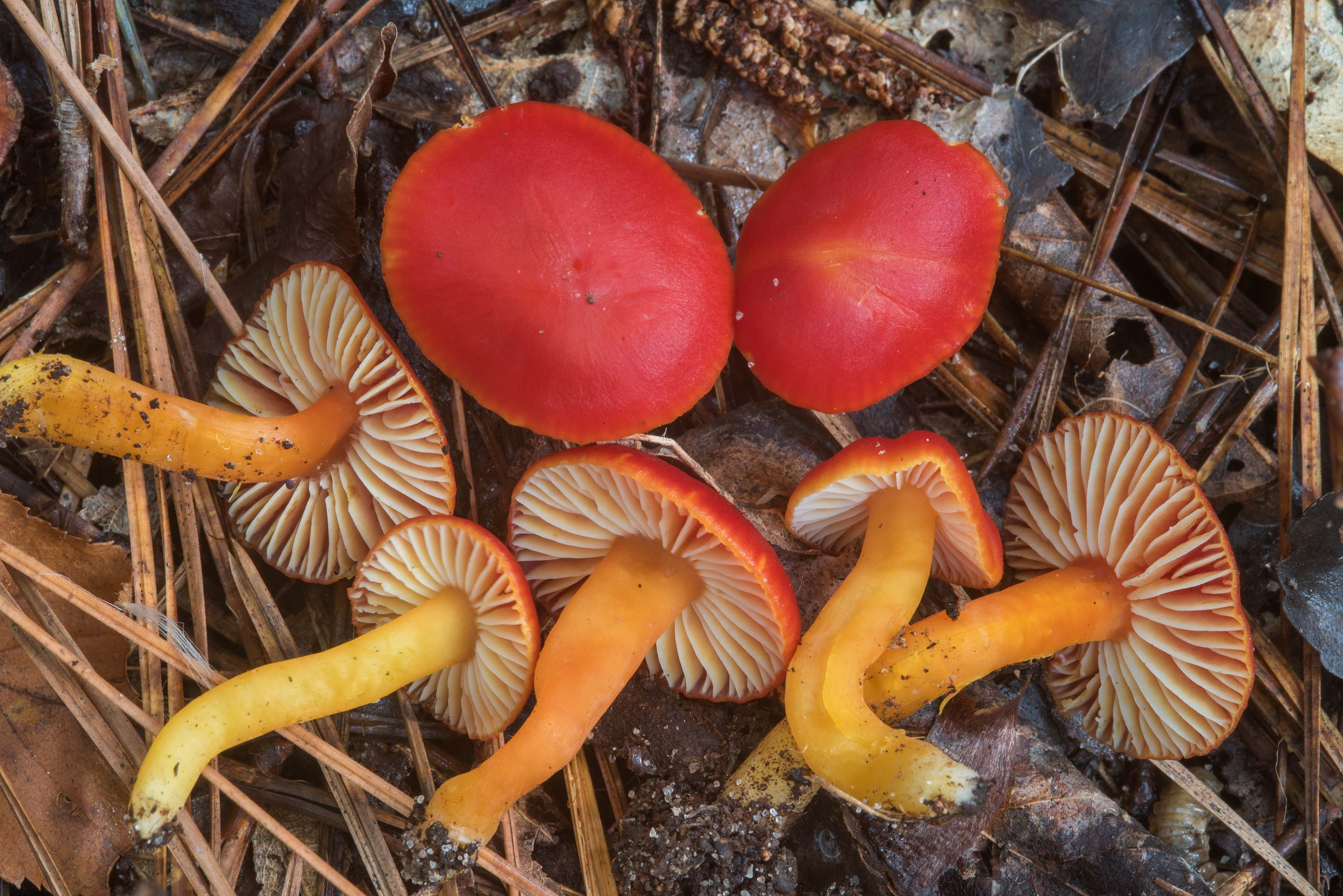Brightly colored orange and red waxcap (Hygrocybe...National Forest. Shepherd, Texas