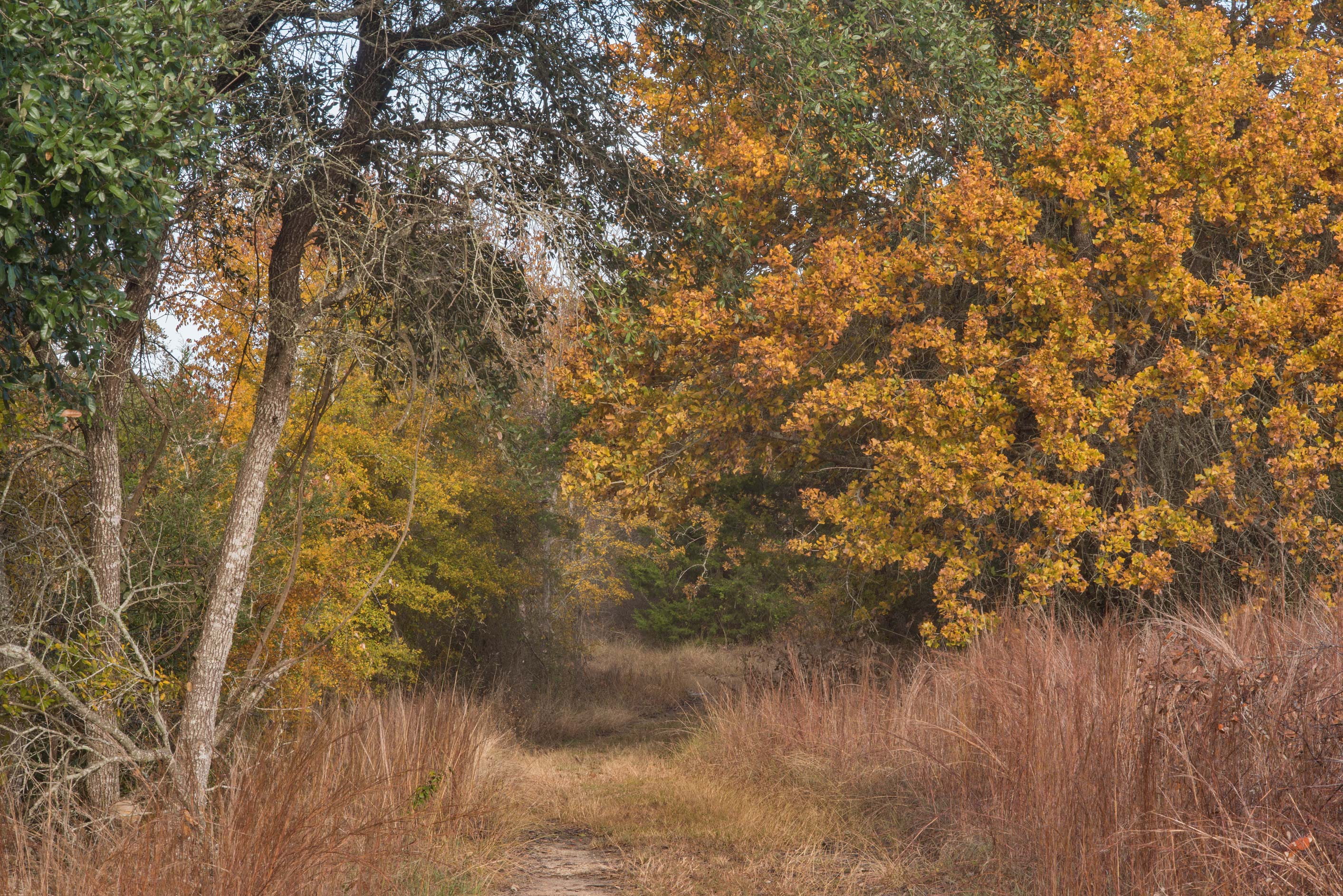 Fall colors of oaks near Birch Creek Unit of Somerville Lake State Park. Texas