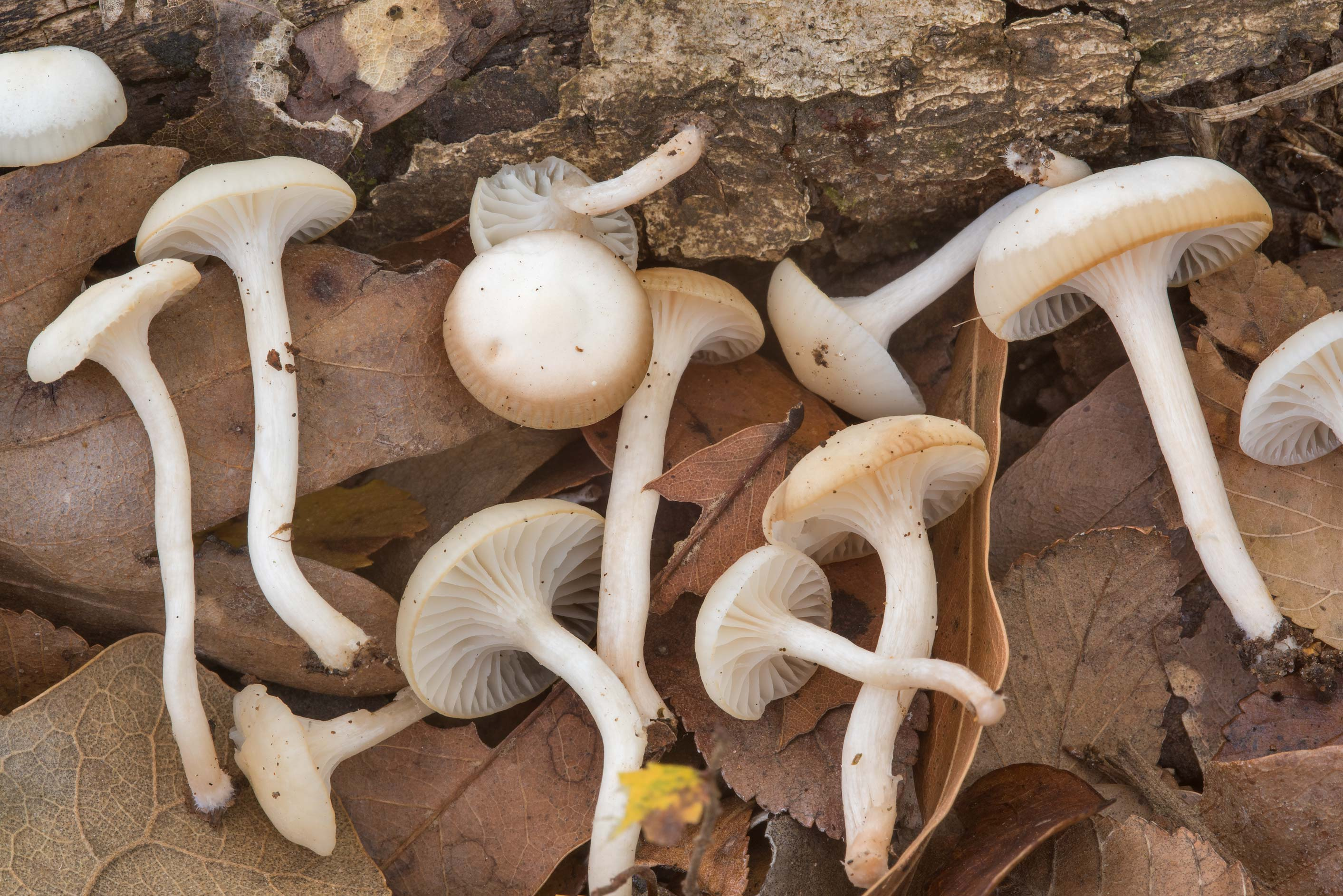 Hygrocybe angustifolia (Cuphophyllus...Creek Park. College Station, Texas