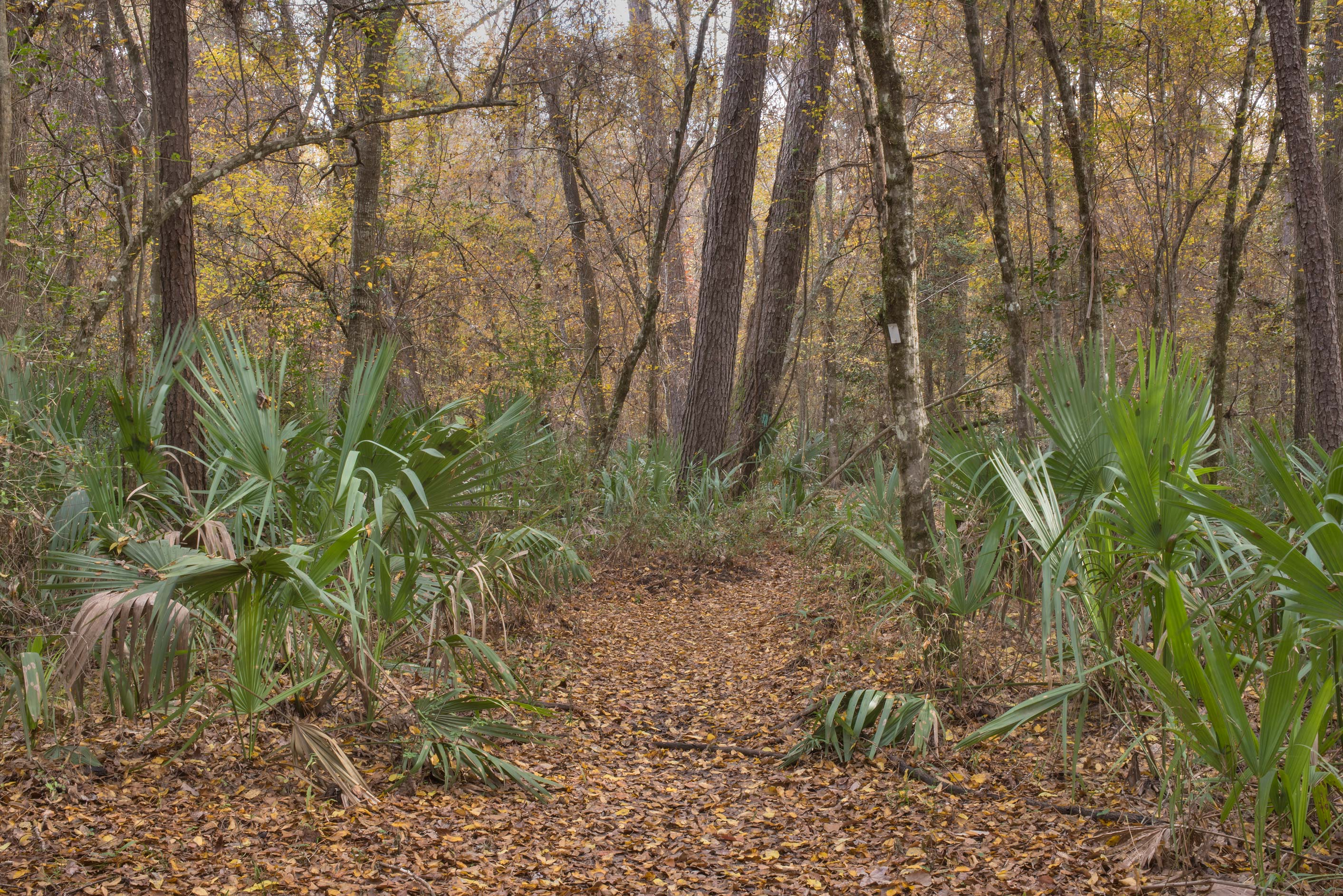Swampy area with palmettos on Winters Bayou Trail...National Forest. Cleveland, Texas