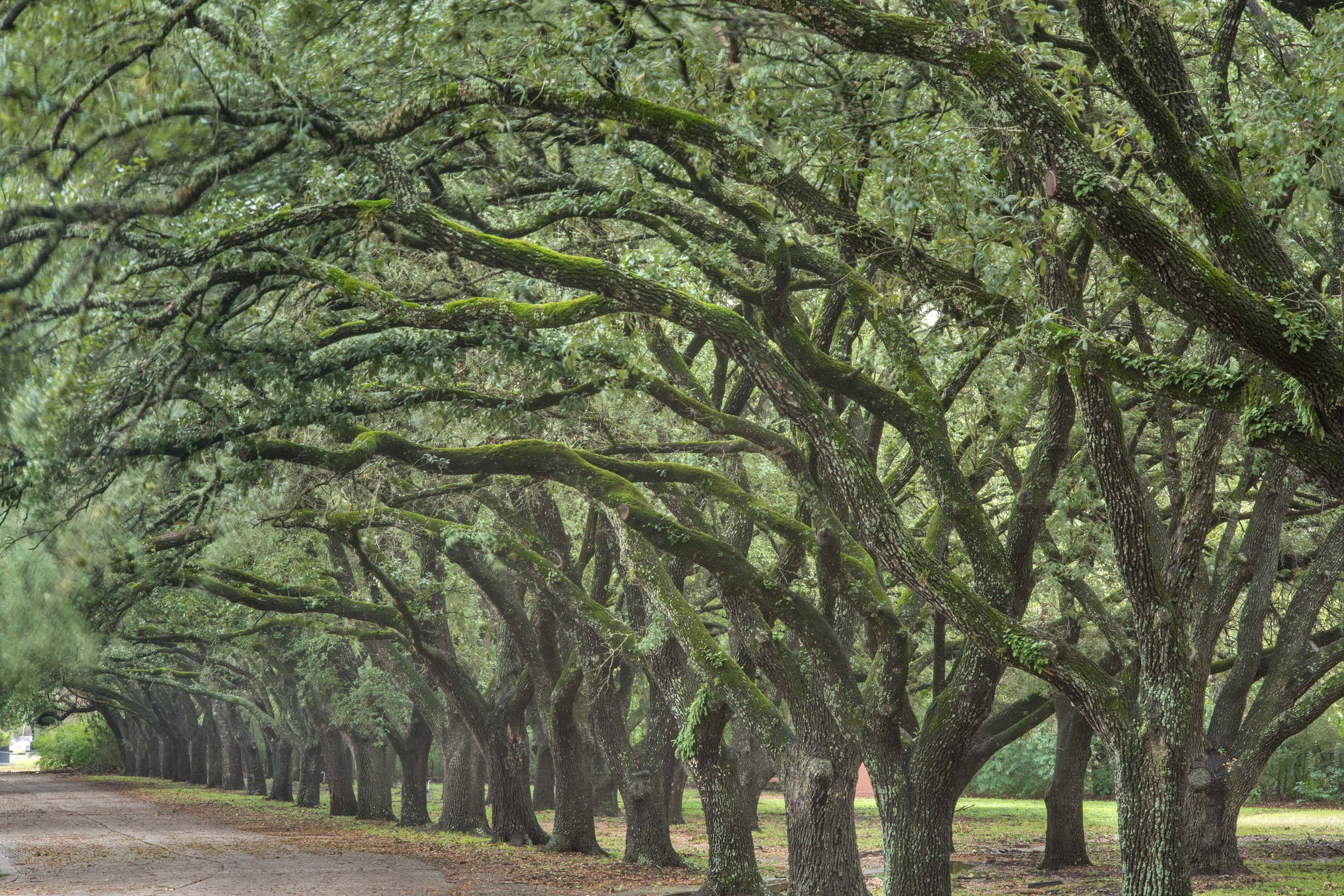 Oak alley at the entrance of City Cemetery. Bryan, Texas