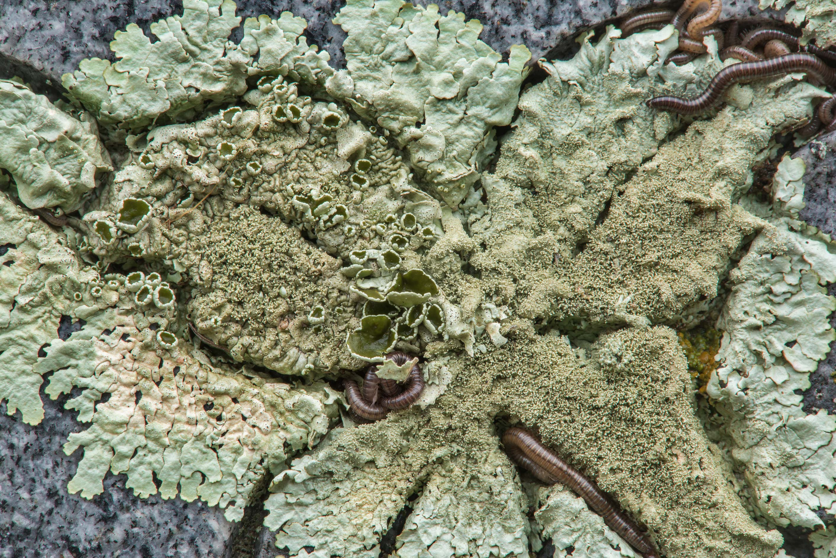 Peppered rock-shield lichen (Xanthoparmelia...tomb in City Cemetery. Bryan, Texas