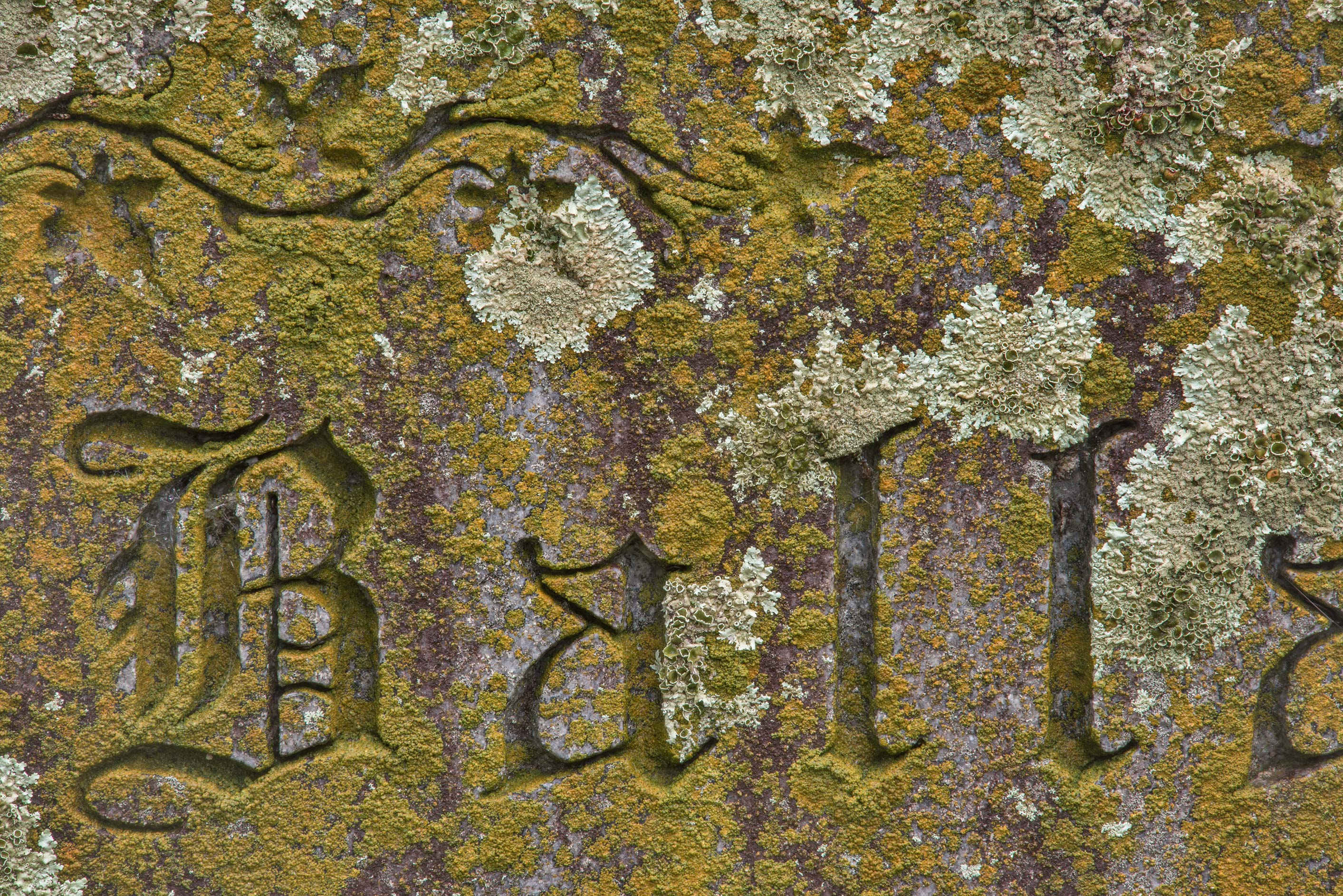 Firedot lichen Caloplaca on a tomb in City Cemetery. Bryan, Texas
