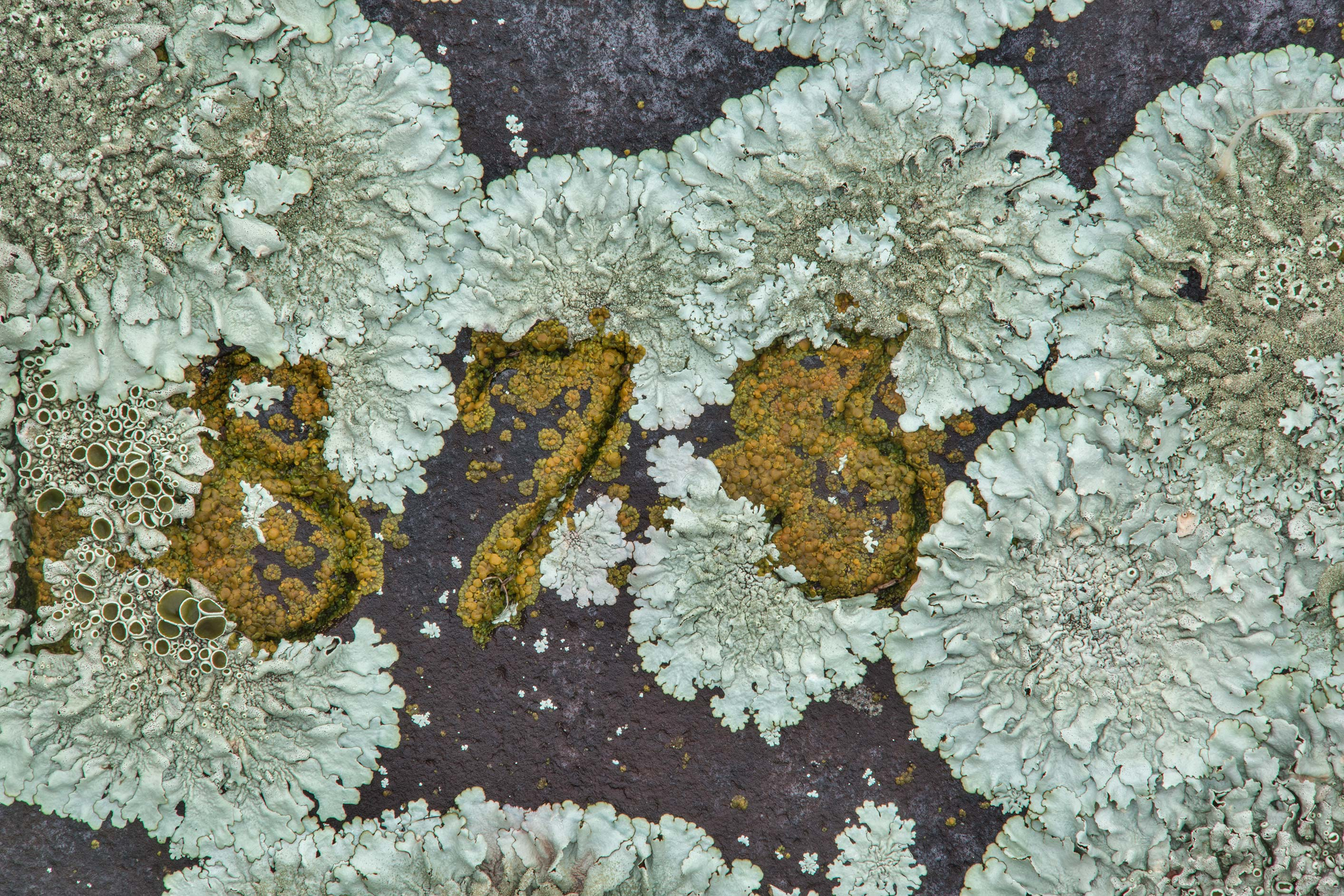 Rock-shield lichen (Xanthoparmelia) on a tomb in City Cemetery. Bryan, Texas