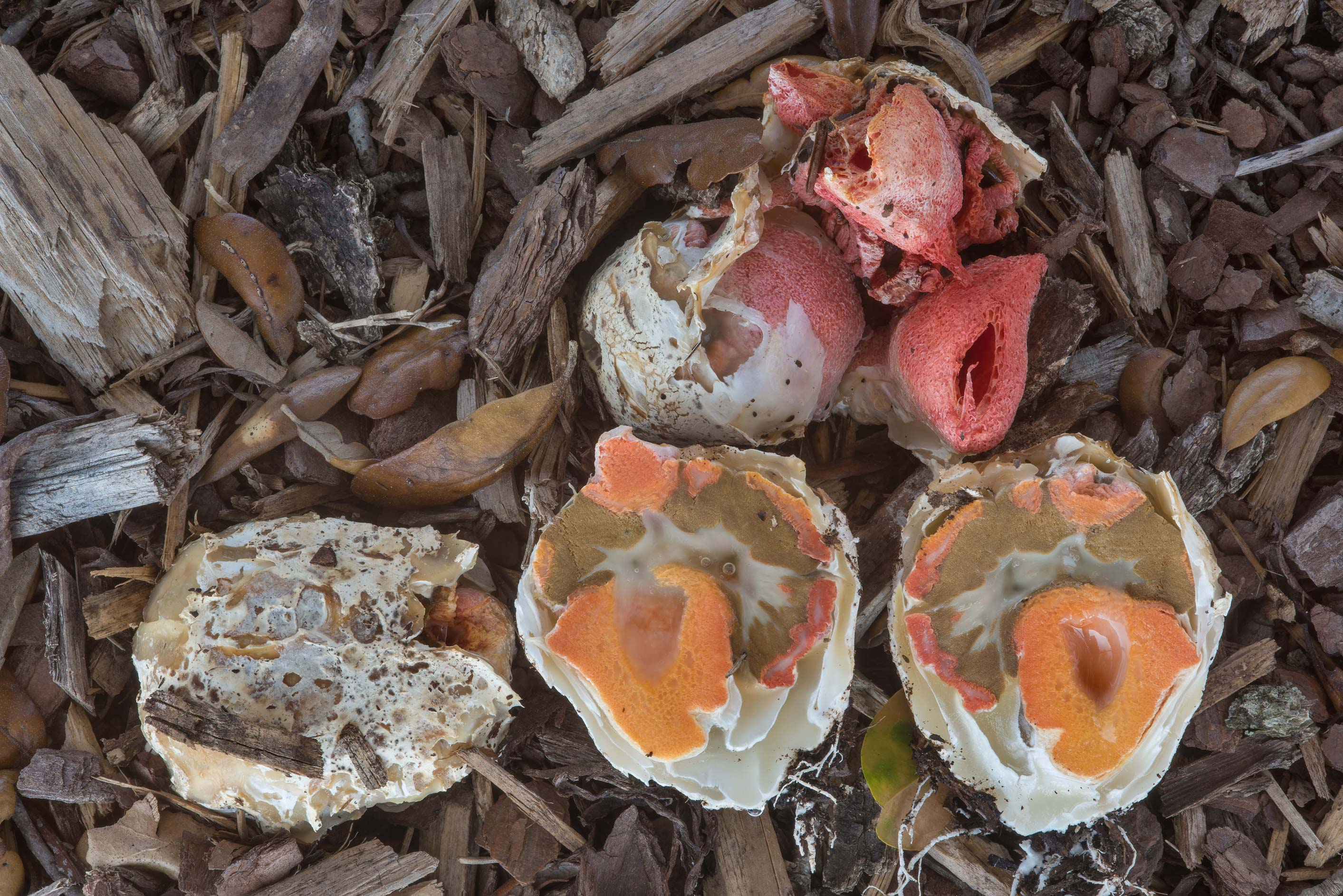 Egg stage of columned stinkhorn mushrooms...at Texas Ave.. College Station, Texas