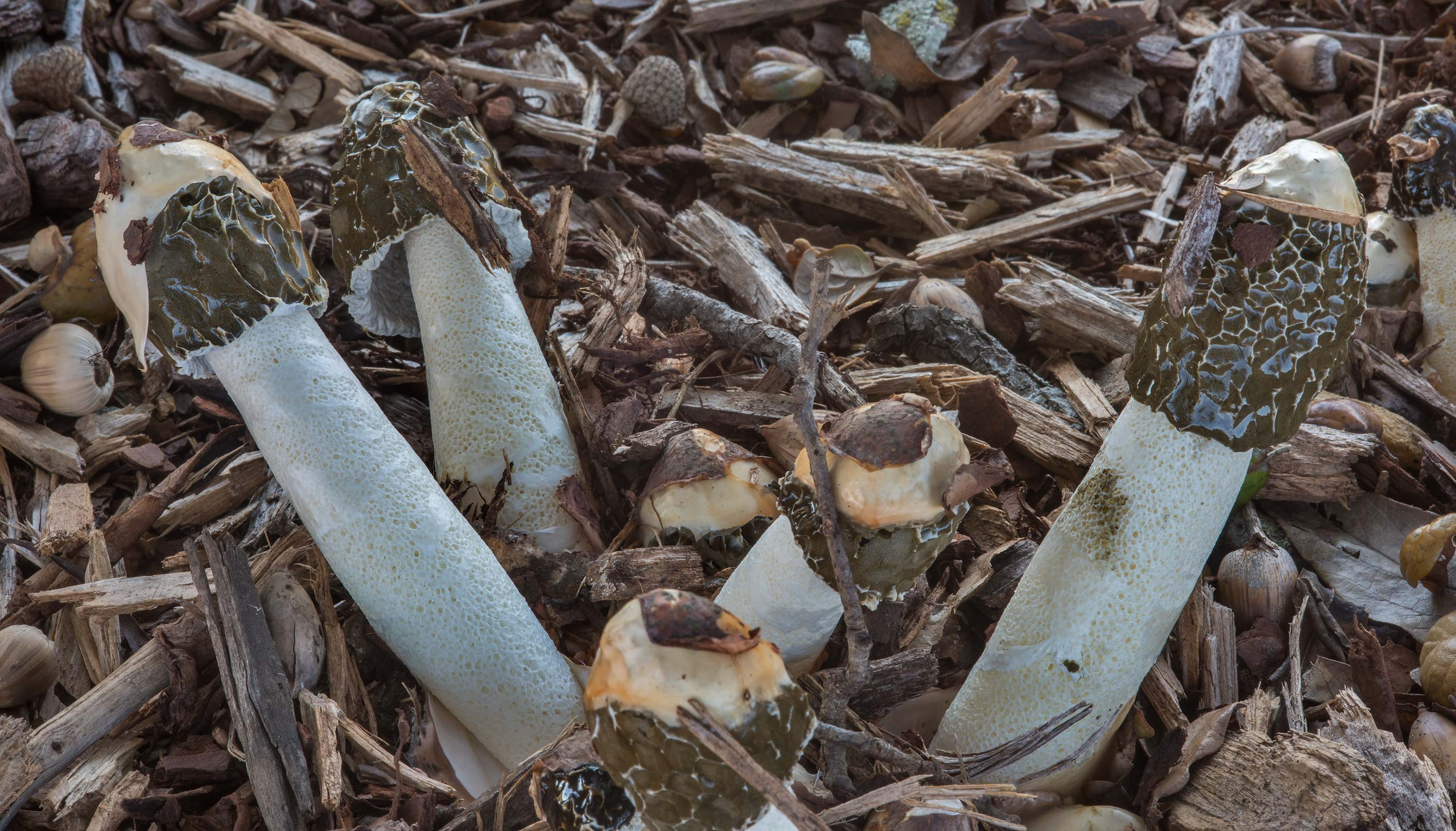 Cluster of dune stinkhorn mushrooms (Phallus...at Texas Ave.. College Station, Texas