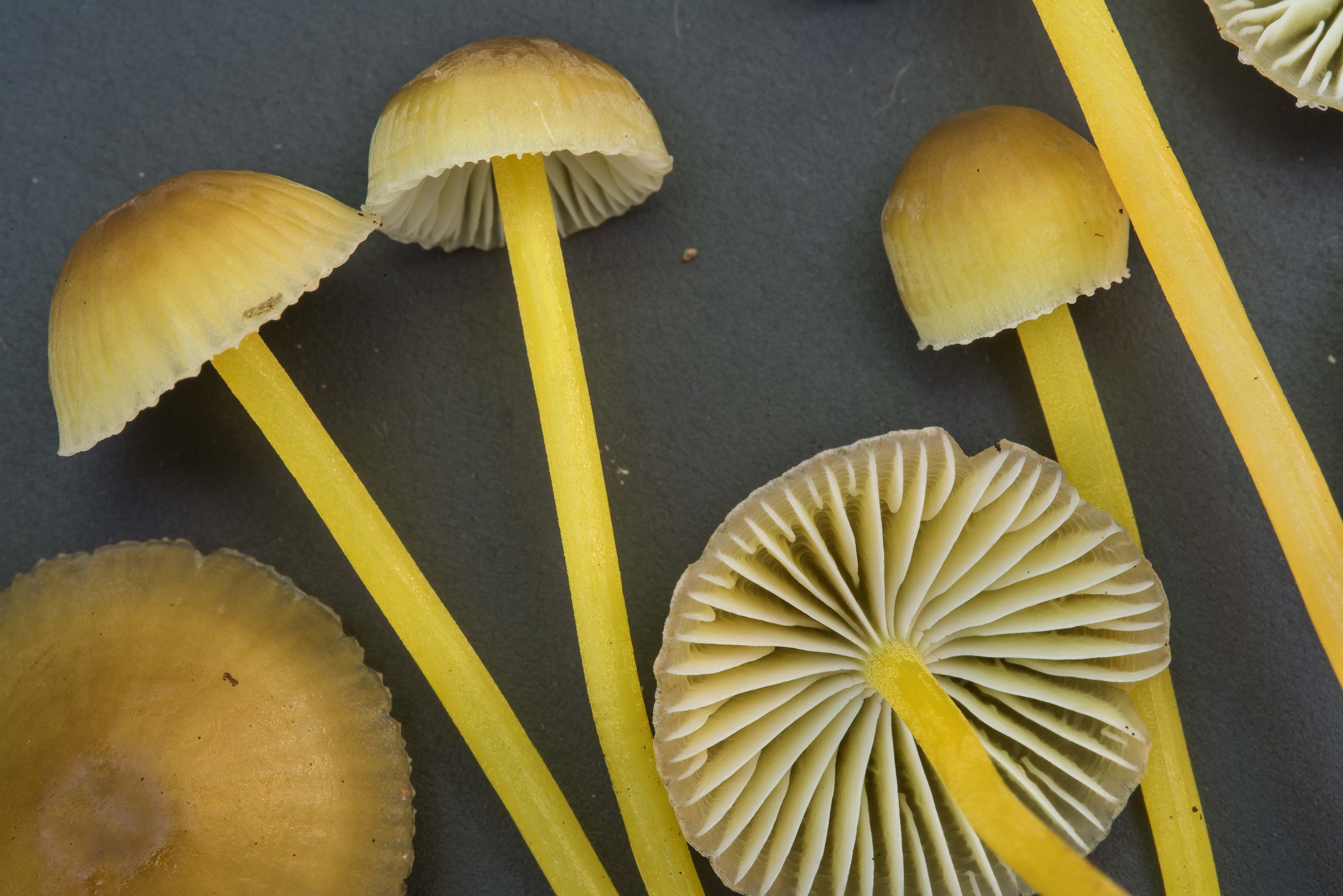Close up of yellowleg bonnet mushrooms (Mycena...Trail in Huntsville State Park. Texas
