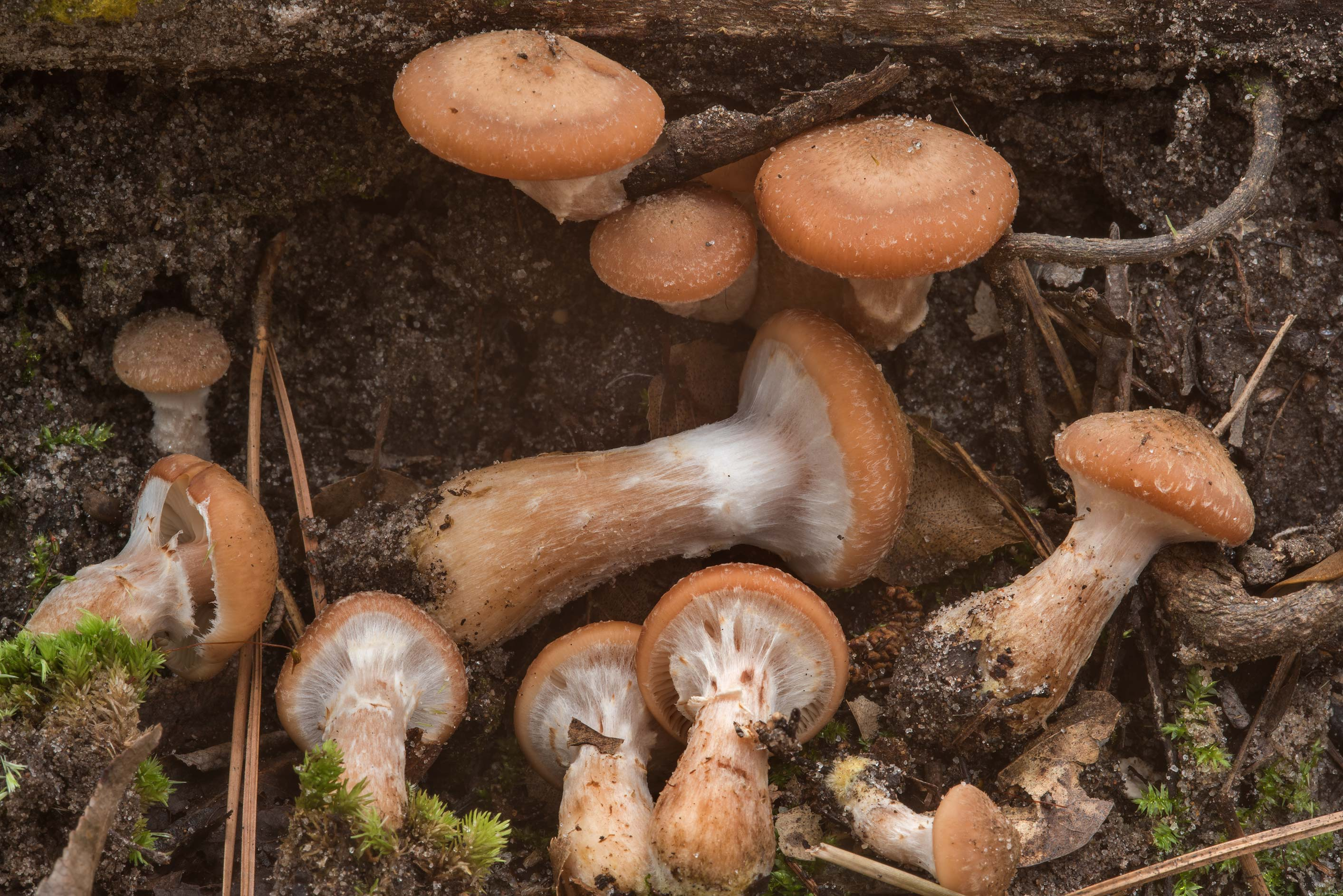 Bulbous honey mushrooms (Armillaria gallica...National Forest near Huntsville. Texas