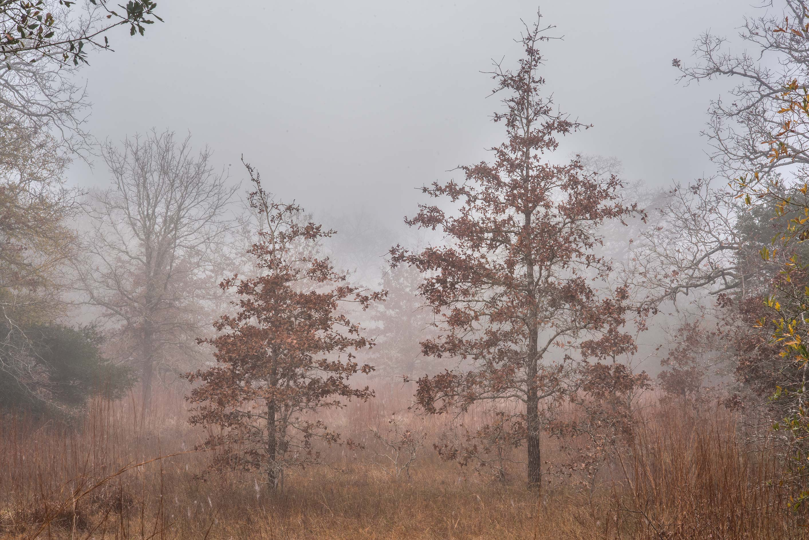 Small oaks in fog in Lick Creek Park. College Station, Texas