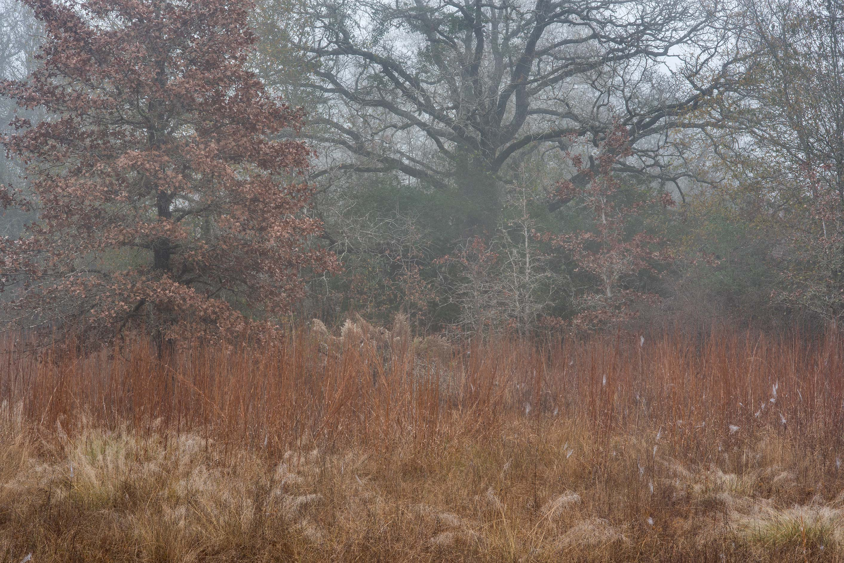 Prairie and oaks in fog in Lick Creek Park. College Station, Texas