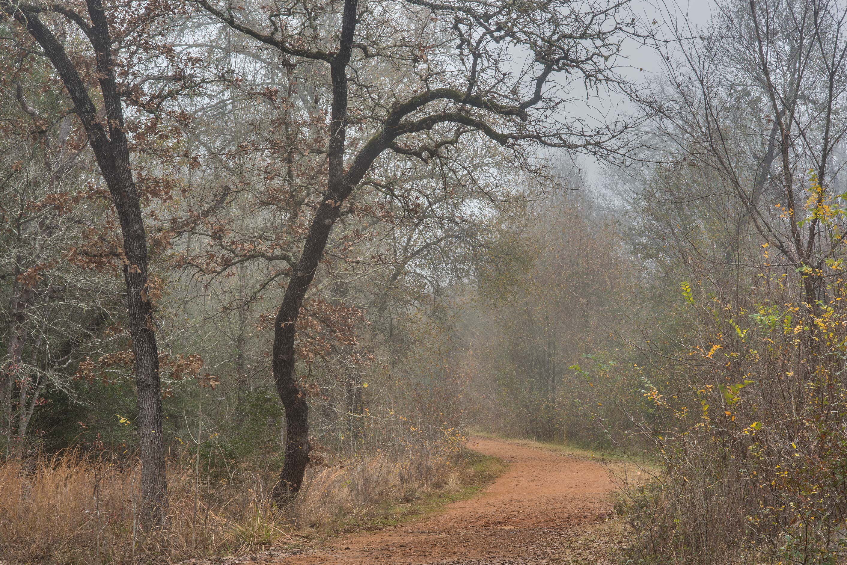 Oaks and a road in fog in Lick Creek Park. College Station, Texas