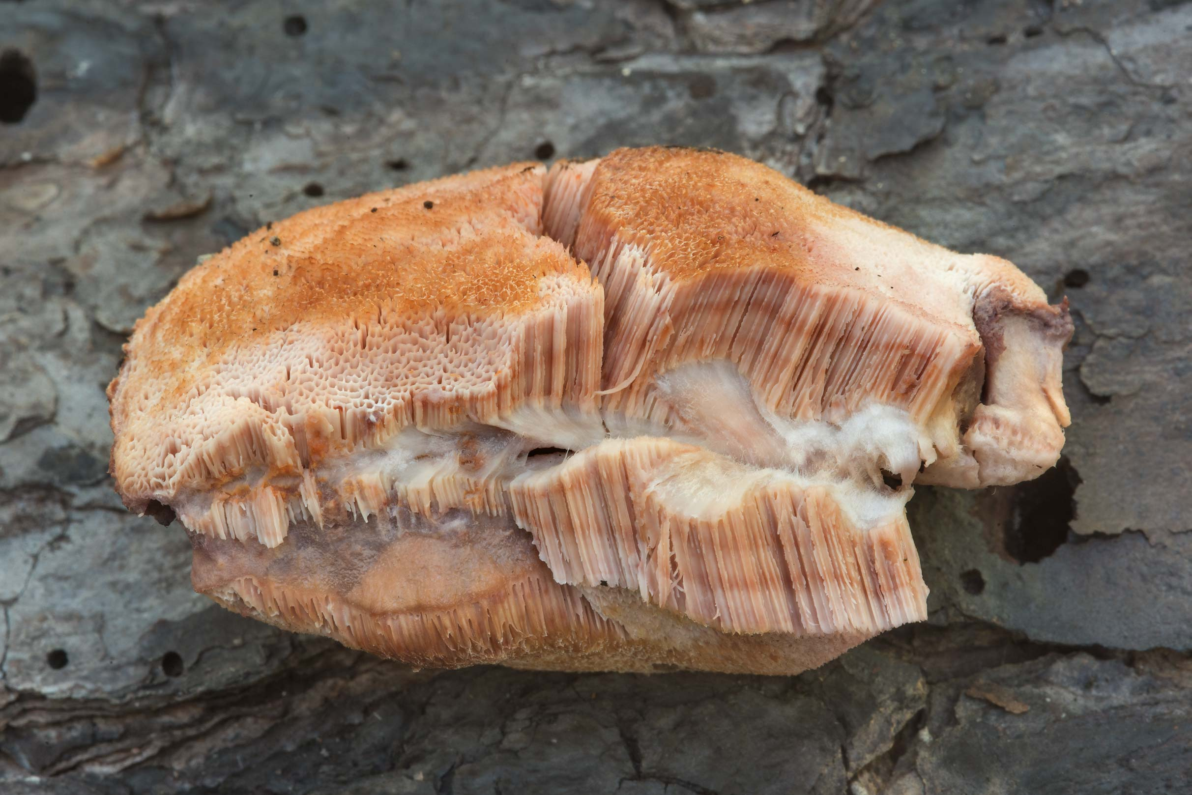 Pores of Pink Sherbet Polypore mushrooms...in Bastrop State Park. Bastrop, Texas