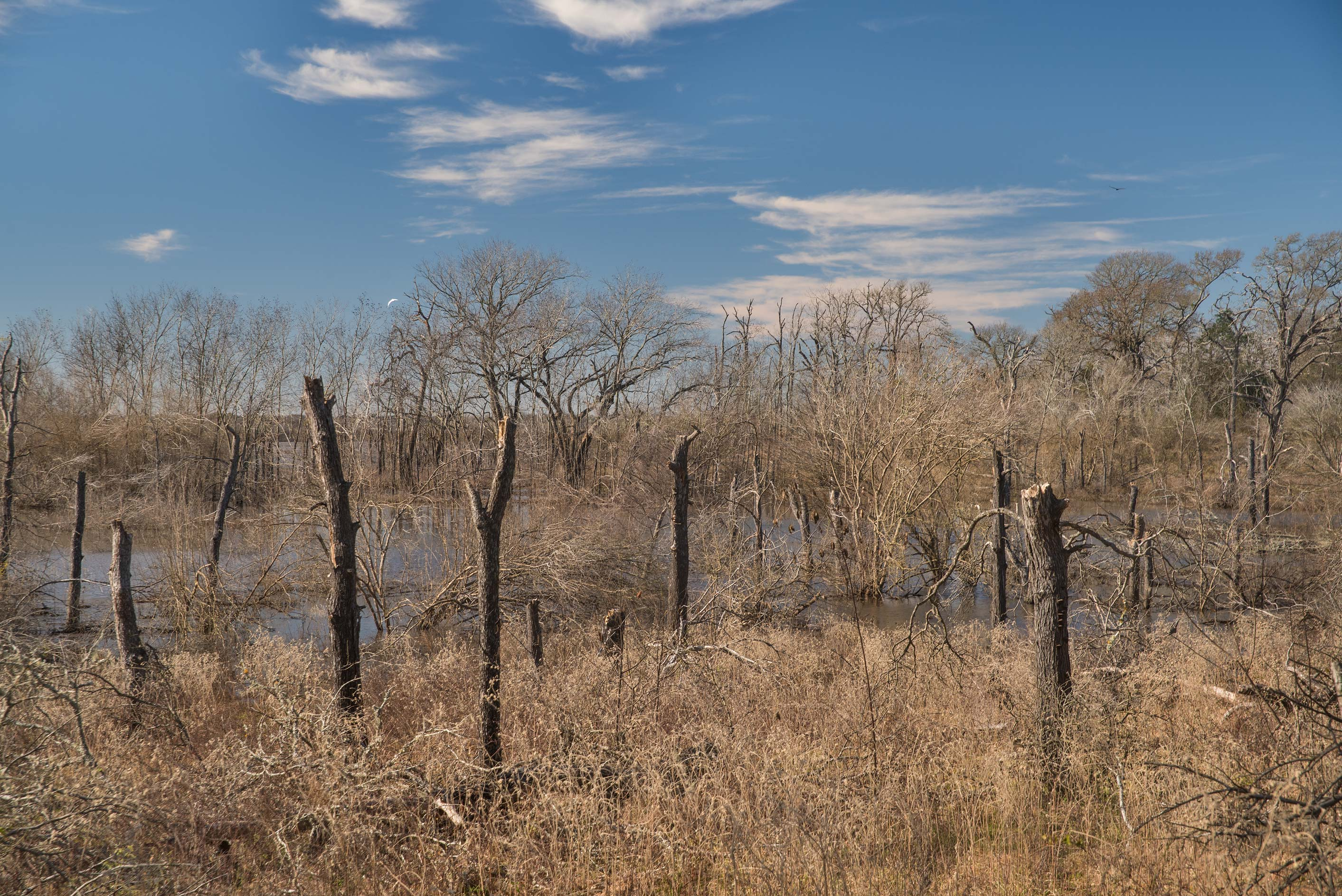 Flooded oak forest at Lake Somerville Trailway...of Somerville Lake State Park. Texas