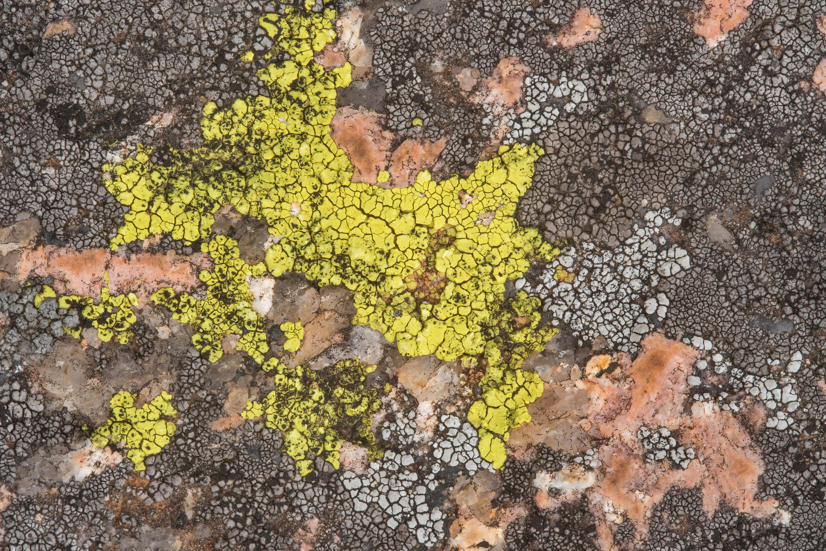 Yellow cobblestone lichen Acarospora socialis and...Natural Area. Fredericksburg, Texas