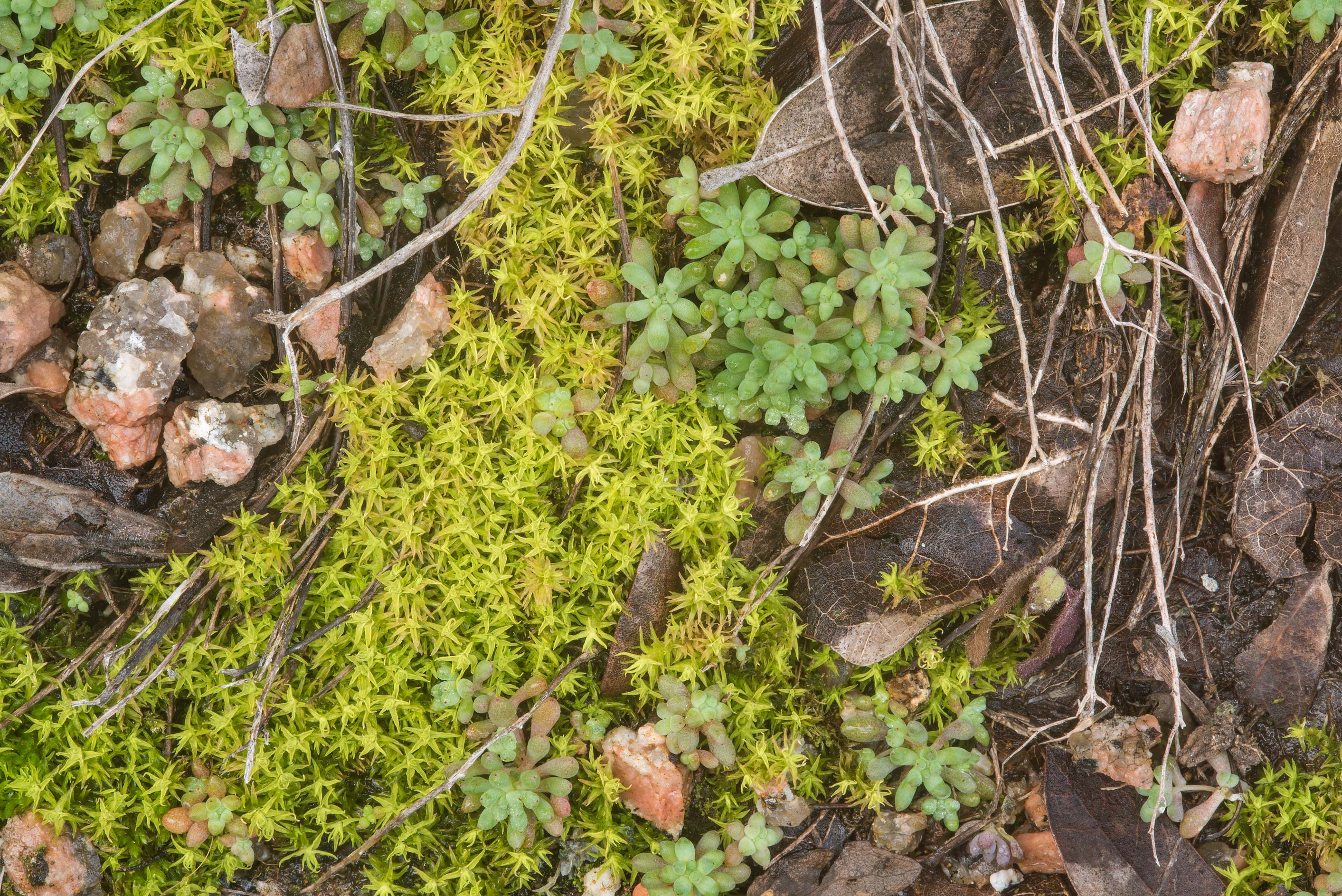 Pigtail moss (Weissia controversa) and yellow...Natural Area. Fredericksburg, Texas