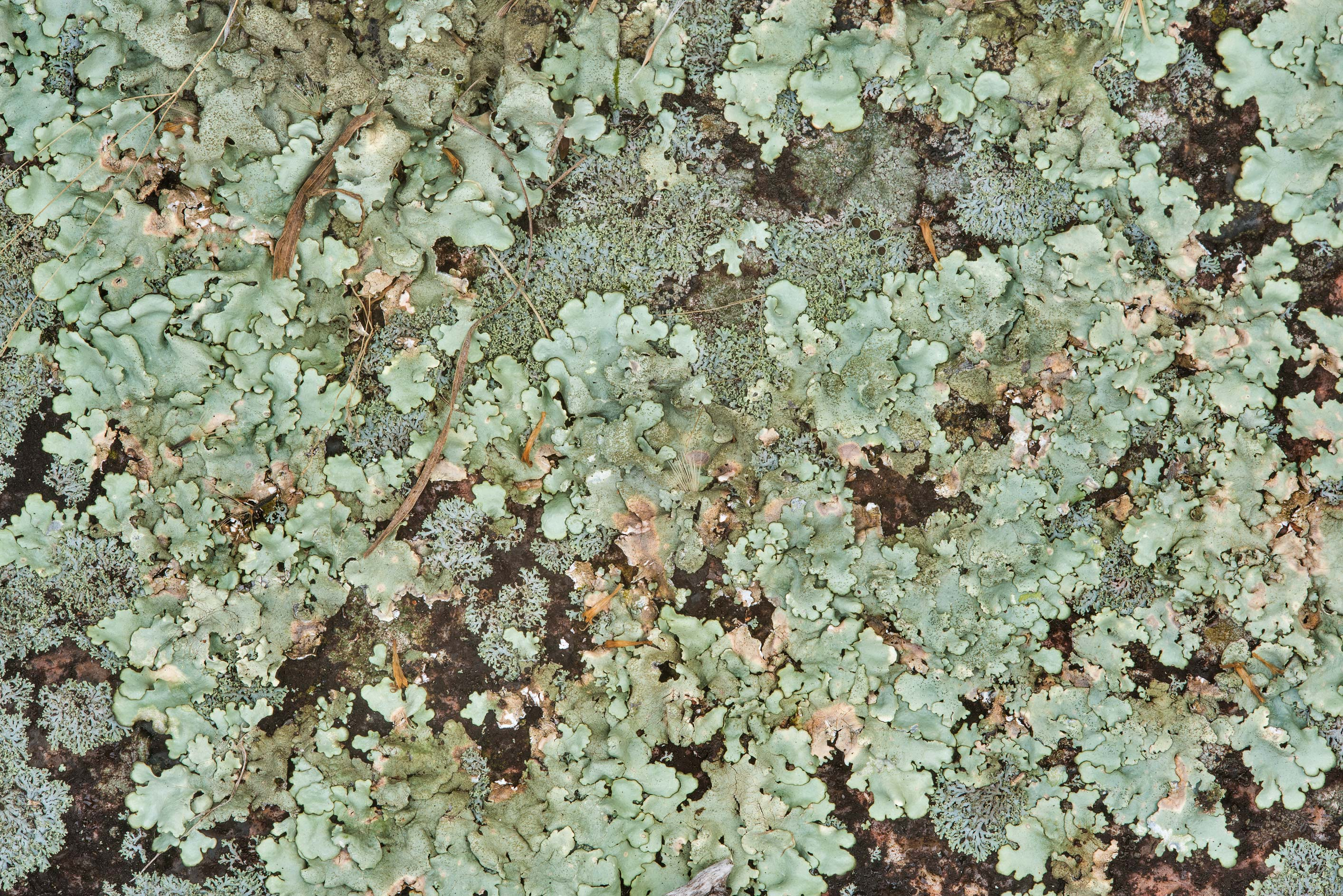 Rock-shield lichen Xanthoparmelia in shaded place...Natural Area. Fredericksburg, Texas