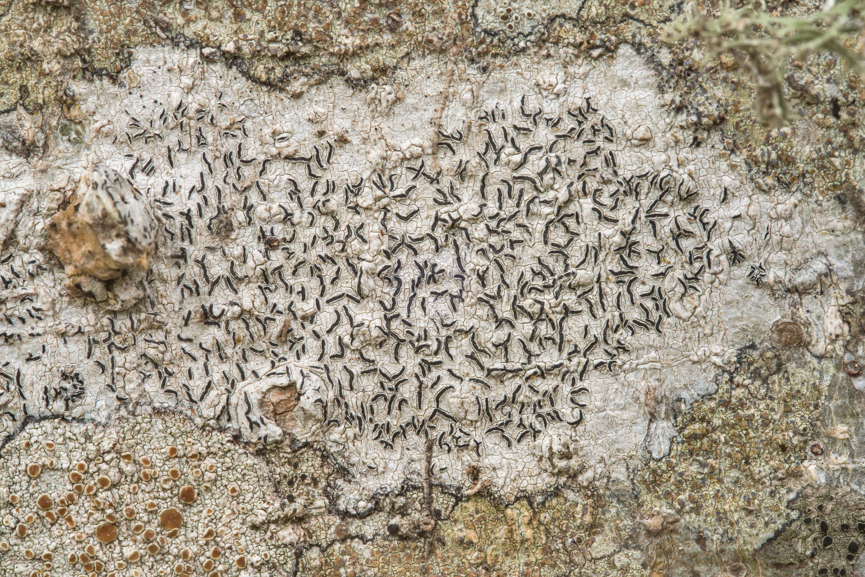 Script lichen Graphis lineola on bark of a...State Historic Site. Washington, Texas
