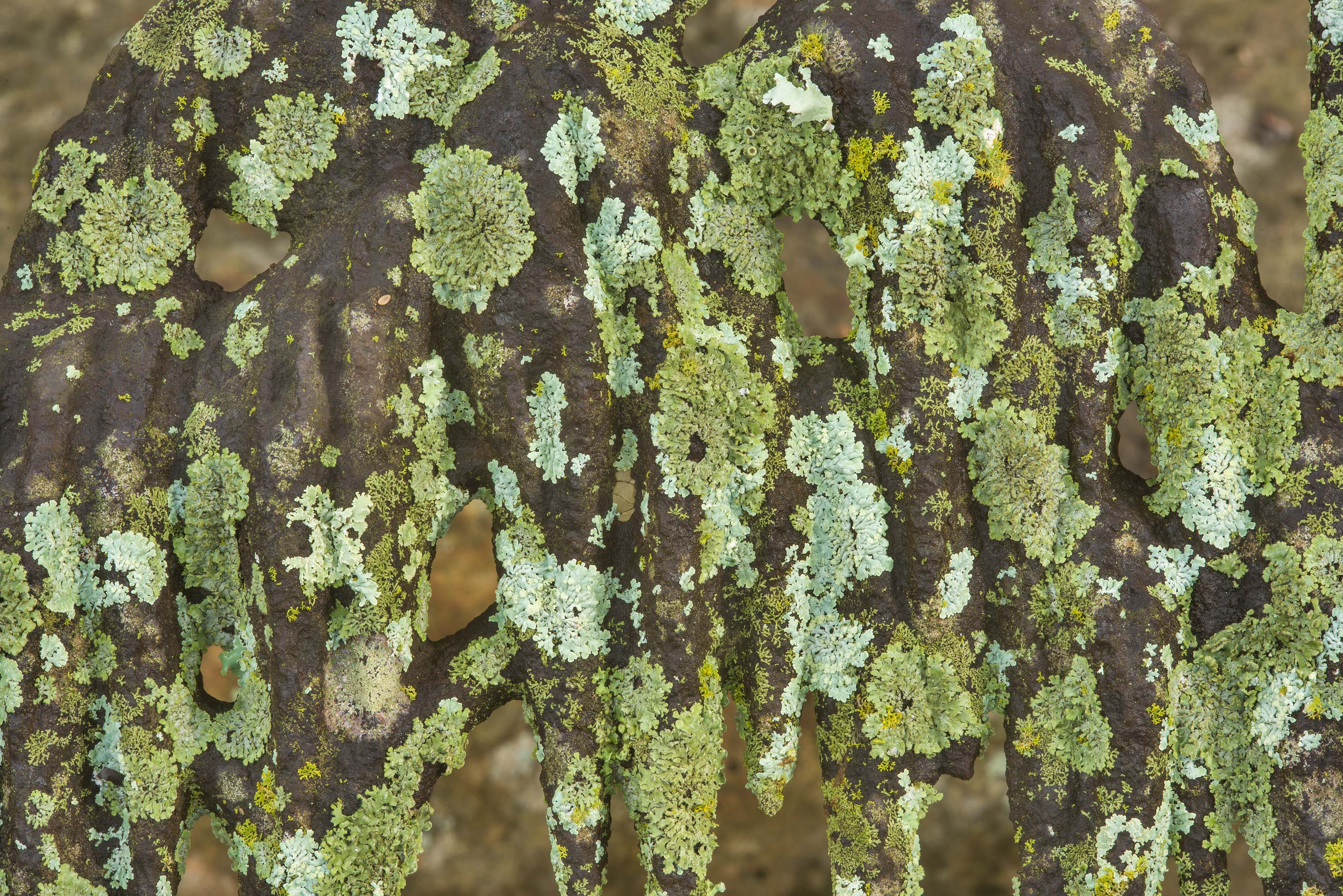 Various green and grey lichens on a massive cast...Odd Fellow Cemetery. Anderson, Texas