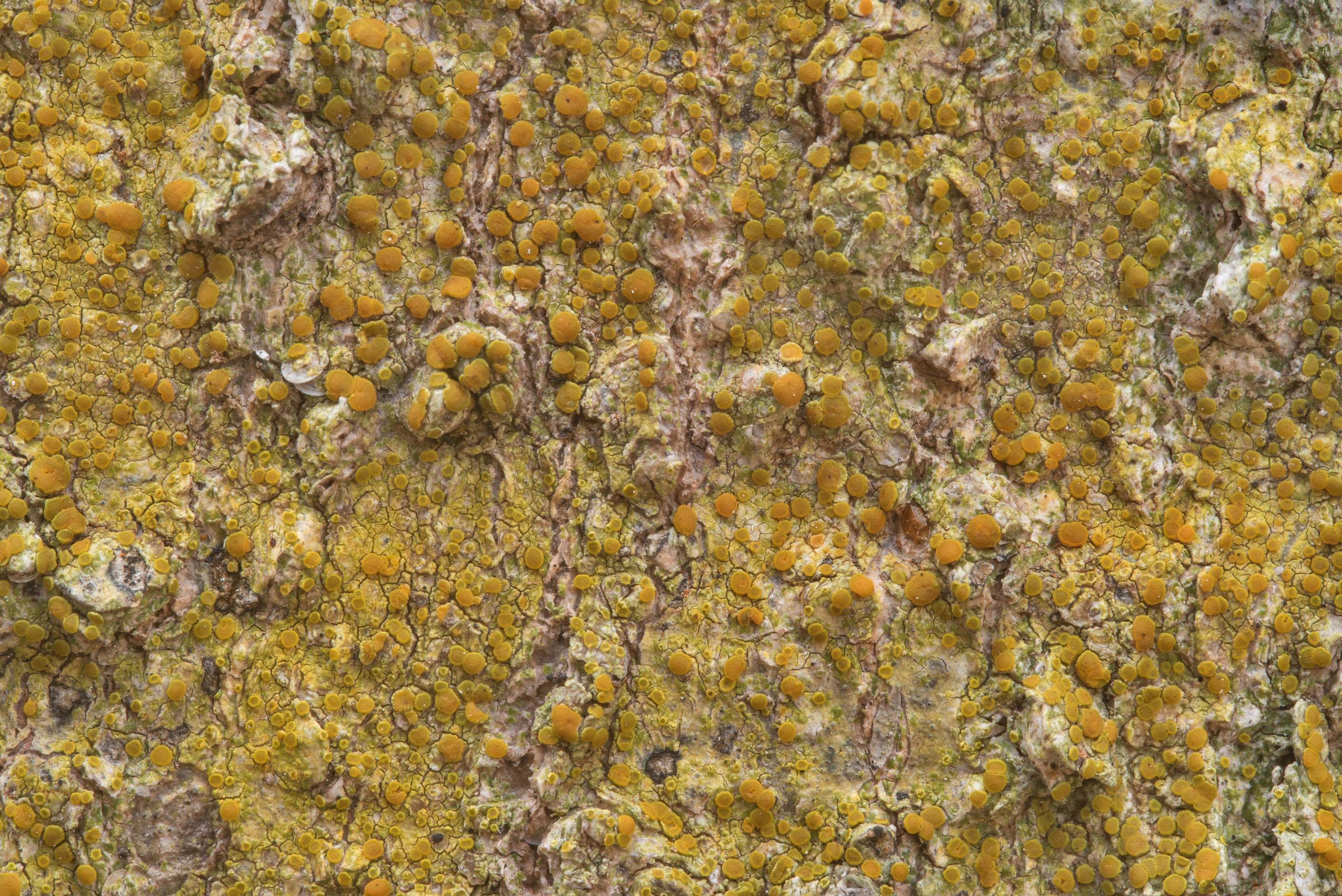 Orange apothecia of bark sulphur-firedot lichen...Creek Park. College Station, Texas