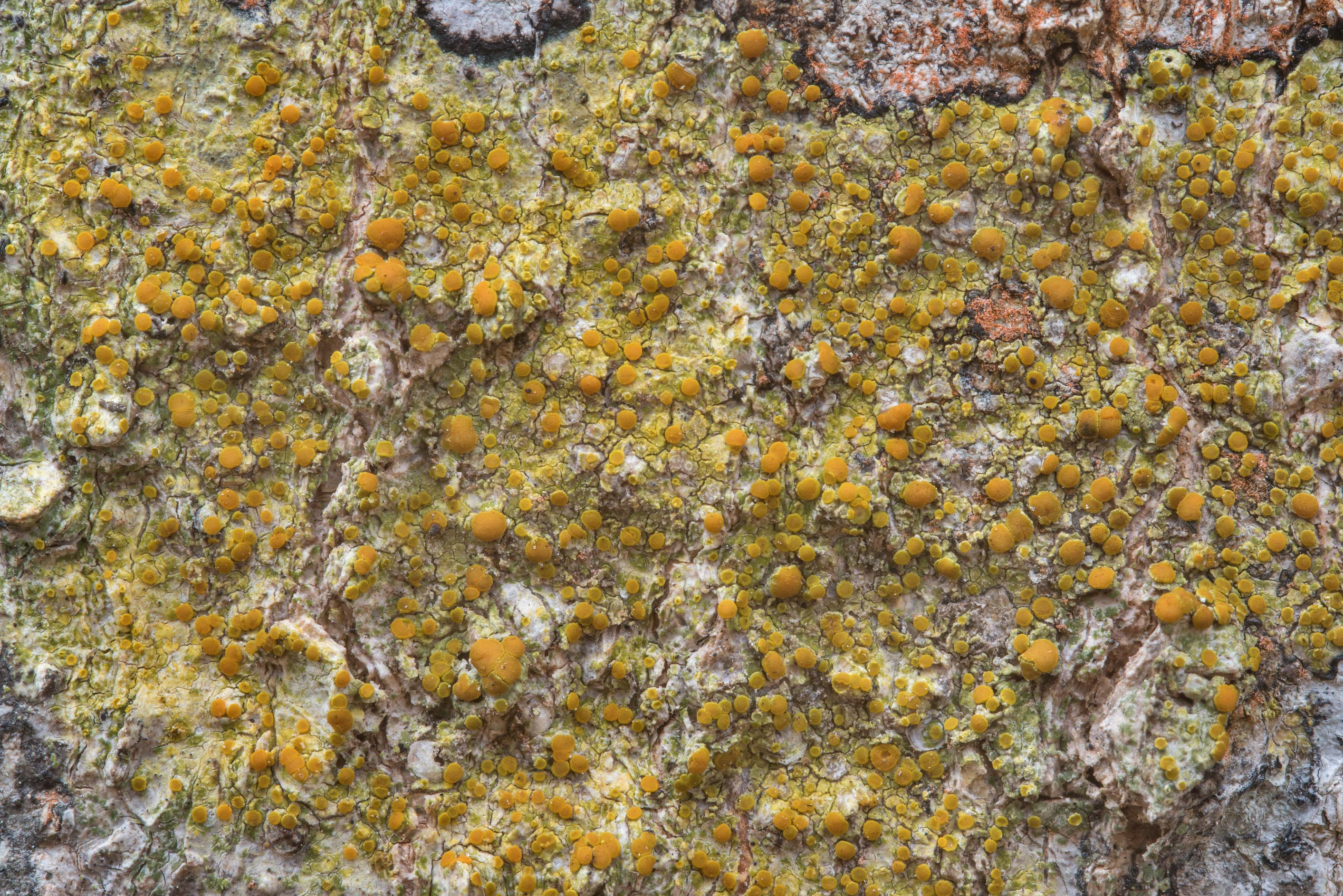 Pattern of bark sulphur-firedot lichen (Caloplaca...Creek Park. College Station, Texas