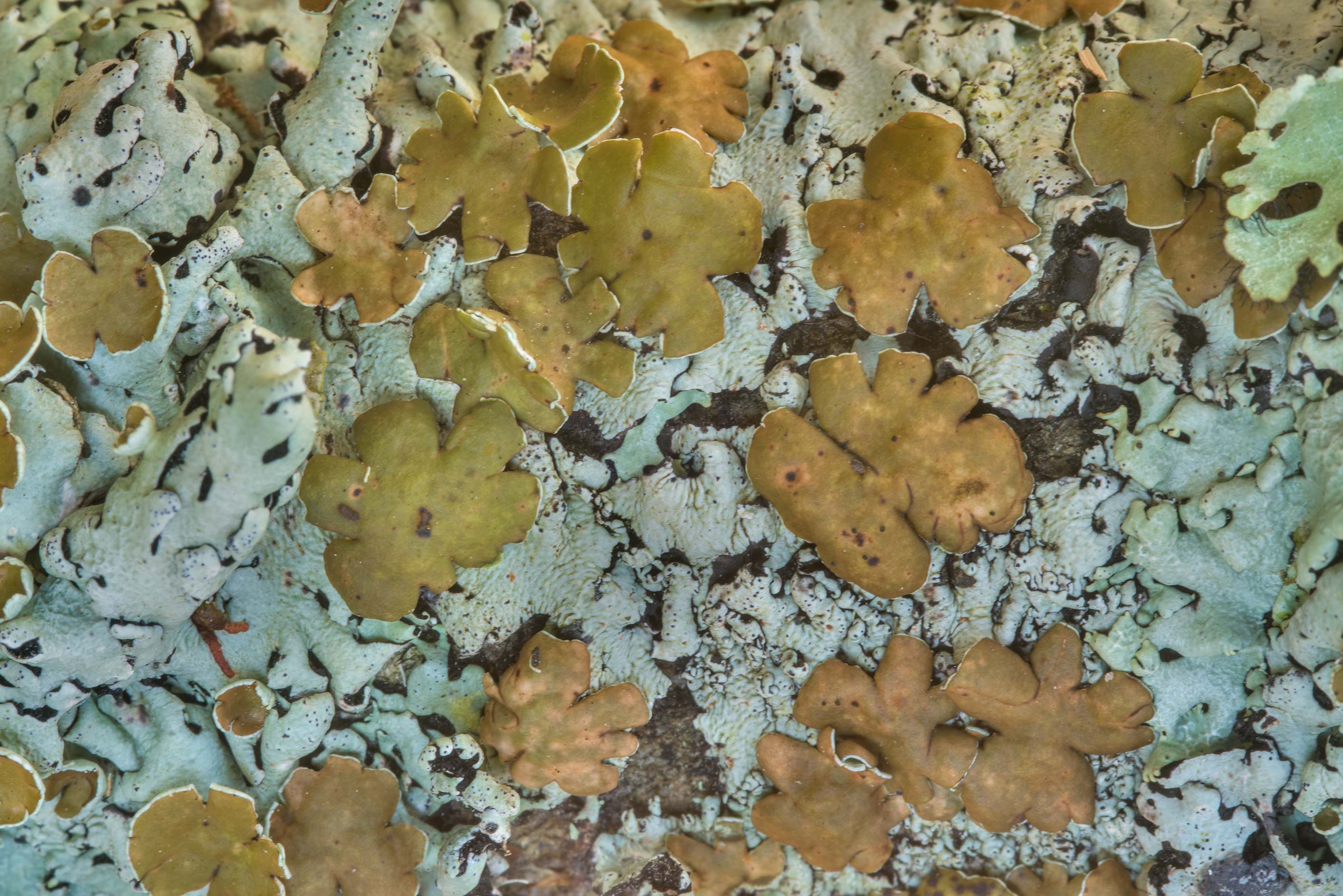 Wrinkled loop lichen (Hypotrachyna livida) on a...National Forest. Shepherd, Texas