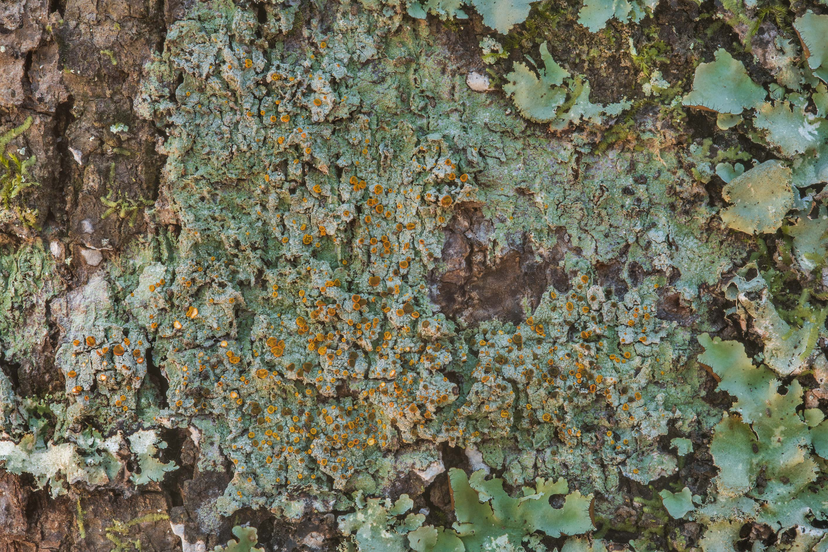 Greenish grey thallus of brick-spored firedot...National Forest. Shepherd, Texas