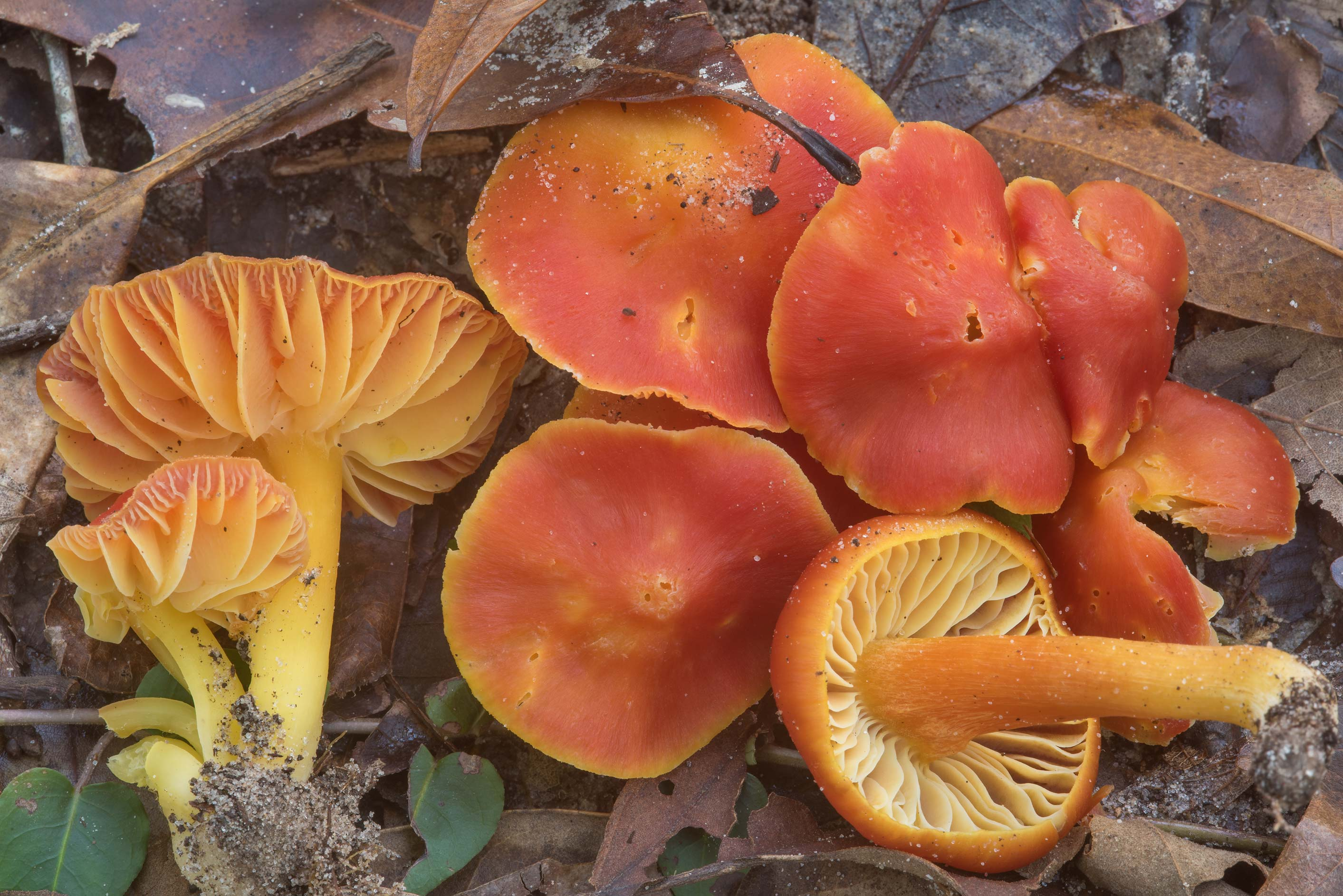 Group of scarlet waxcap mushrooms (Hygrocybe...National Forest. Shepherd, Texas