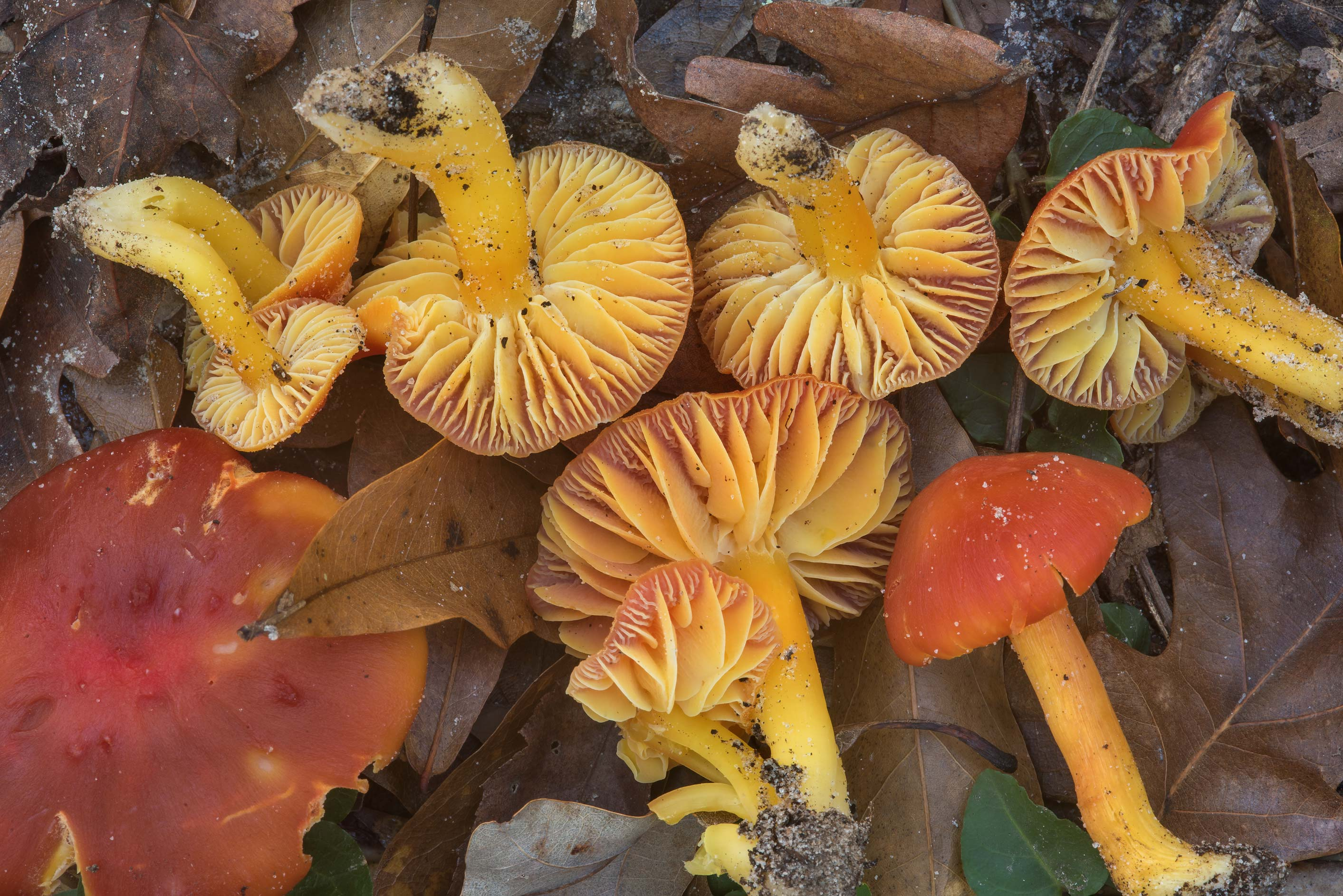 Gills of scarlet waxcap mushrooms (Hygrocybe...National Forest. Shepherd, Texas