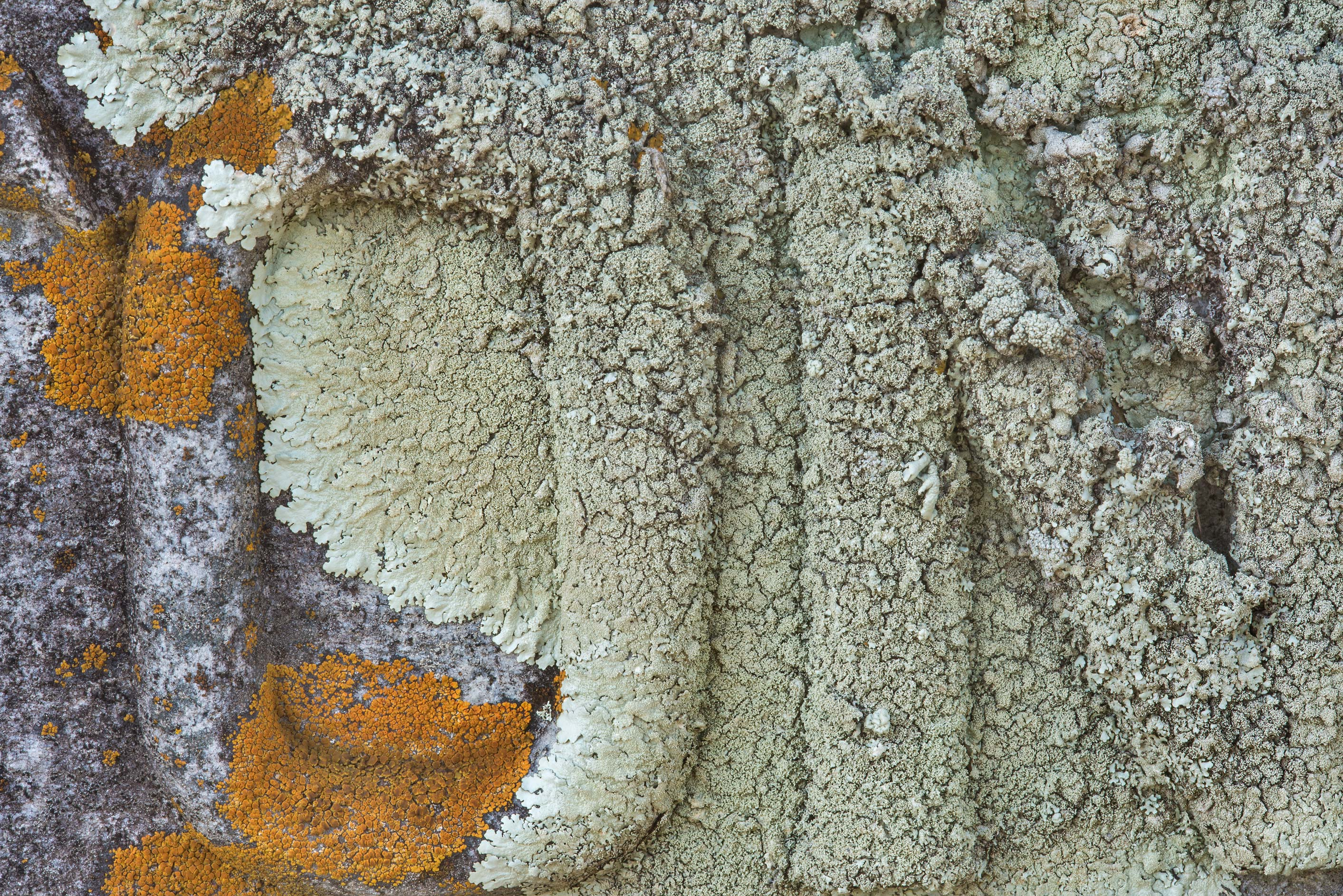 Close up of rock shield lichen (Xanthoparmelia...cemetery, west from Hearne. Texas