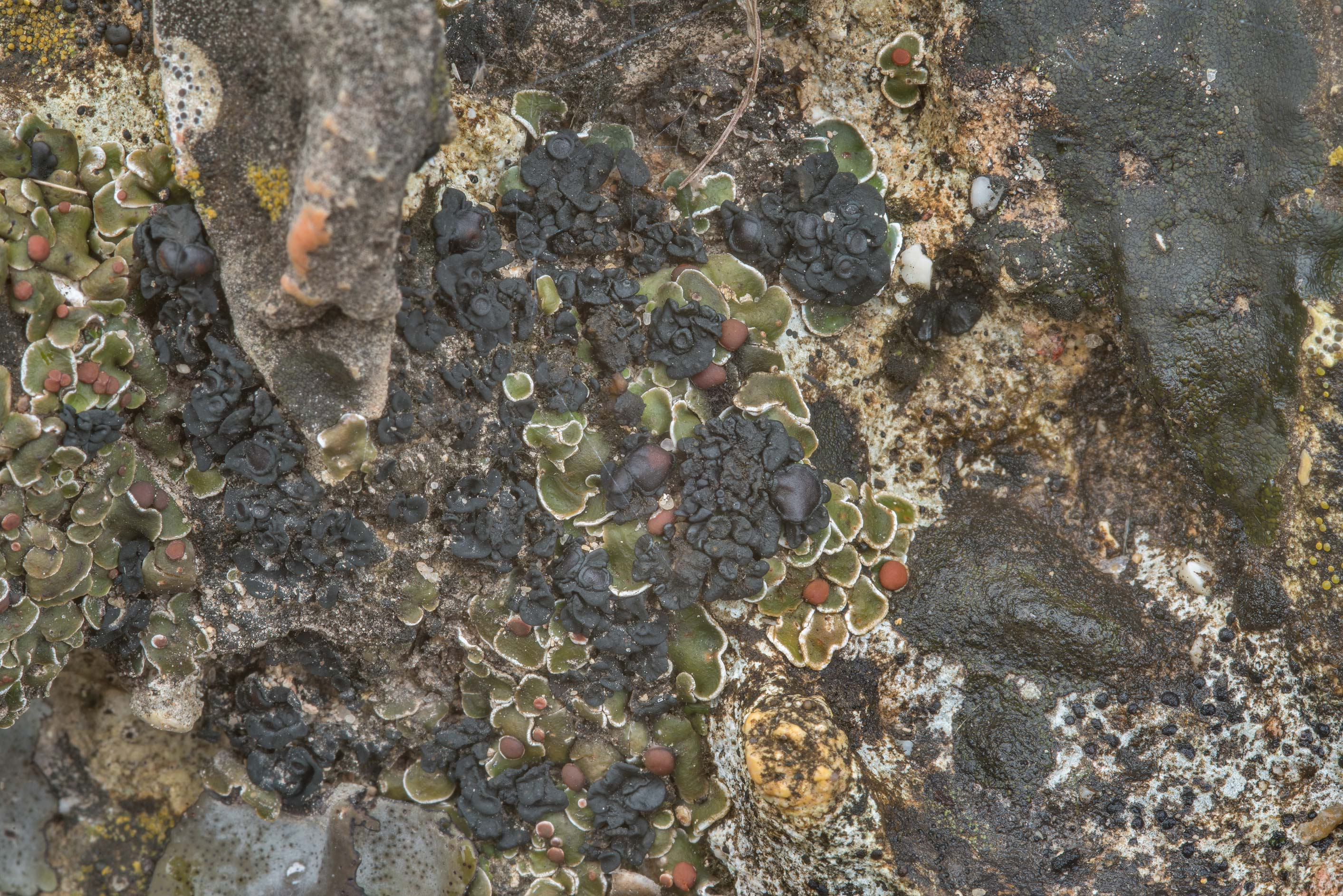 Tar-jelly lichen (Collema) on limestone...Falls State Park. Johnson City, Texas