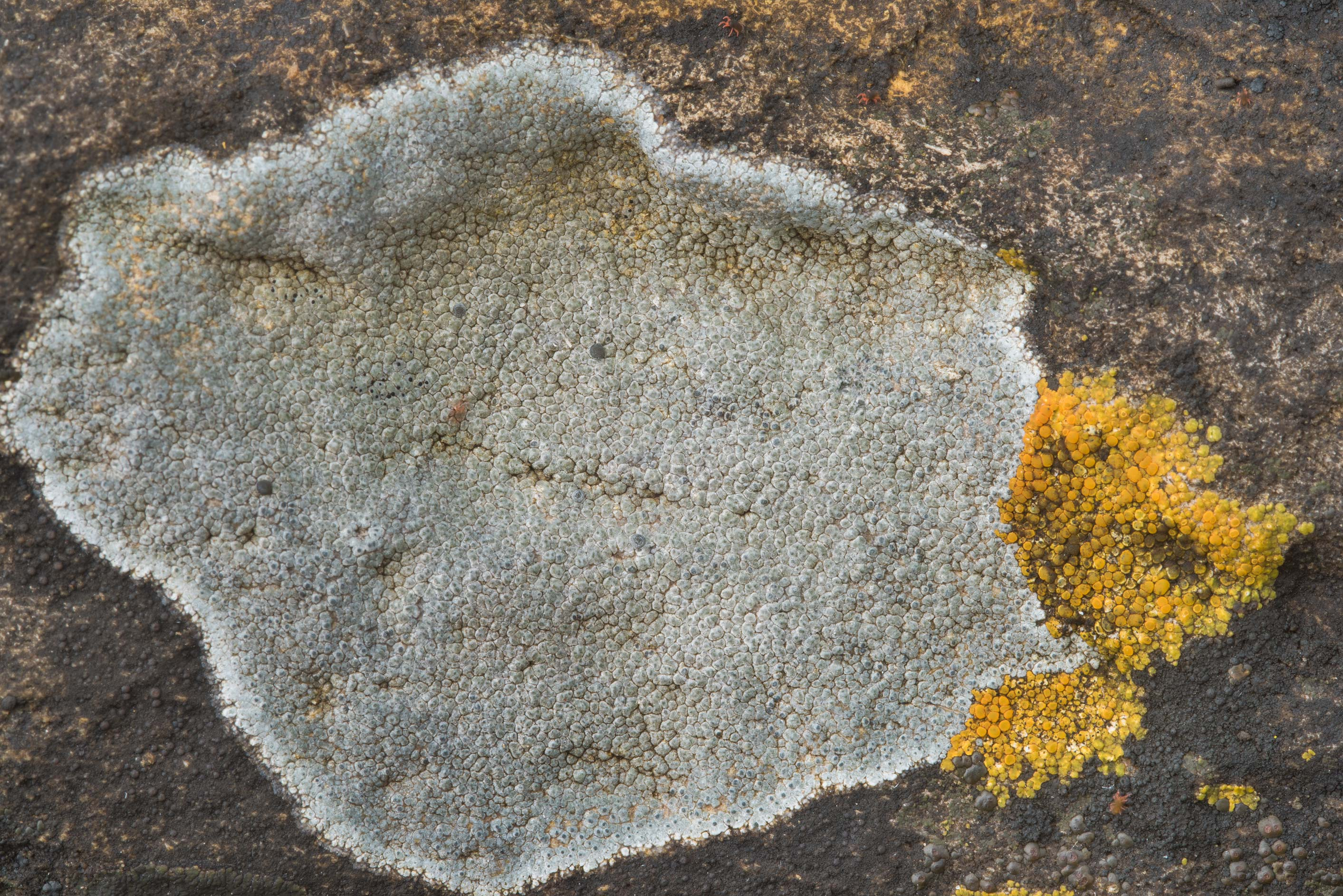 Grey crustose lichen on limestone in Pedernales Falls State Park. Johnson City, Texas