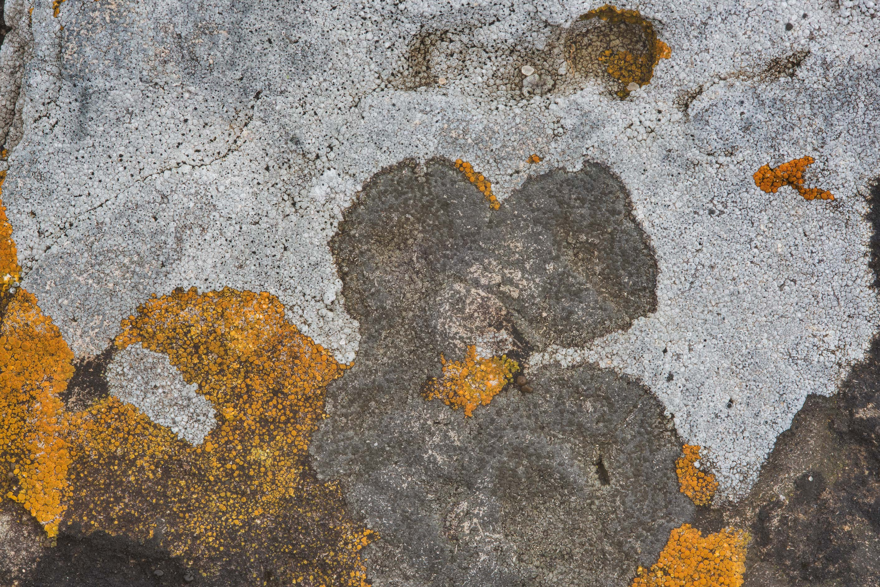 Crustose lichens of different colors on limestone...Falls State Park. Johnson City, Texas