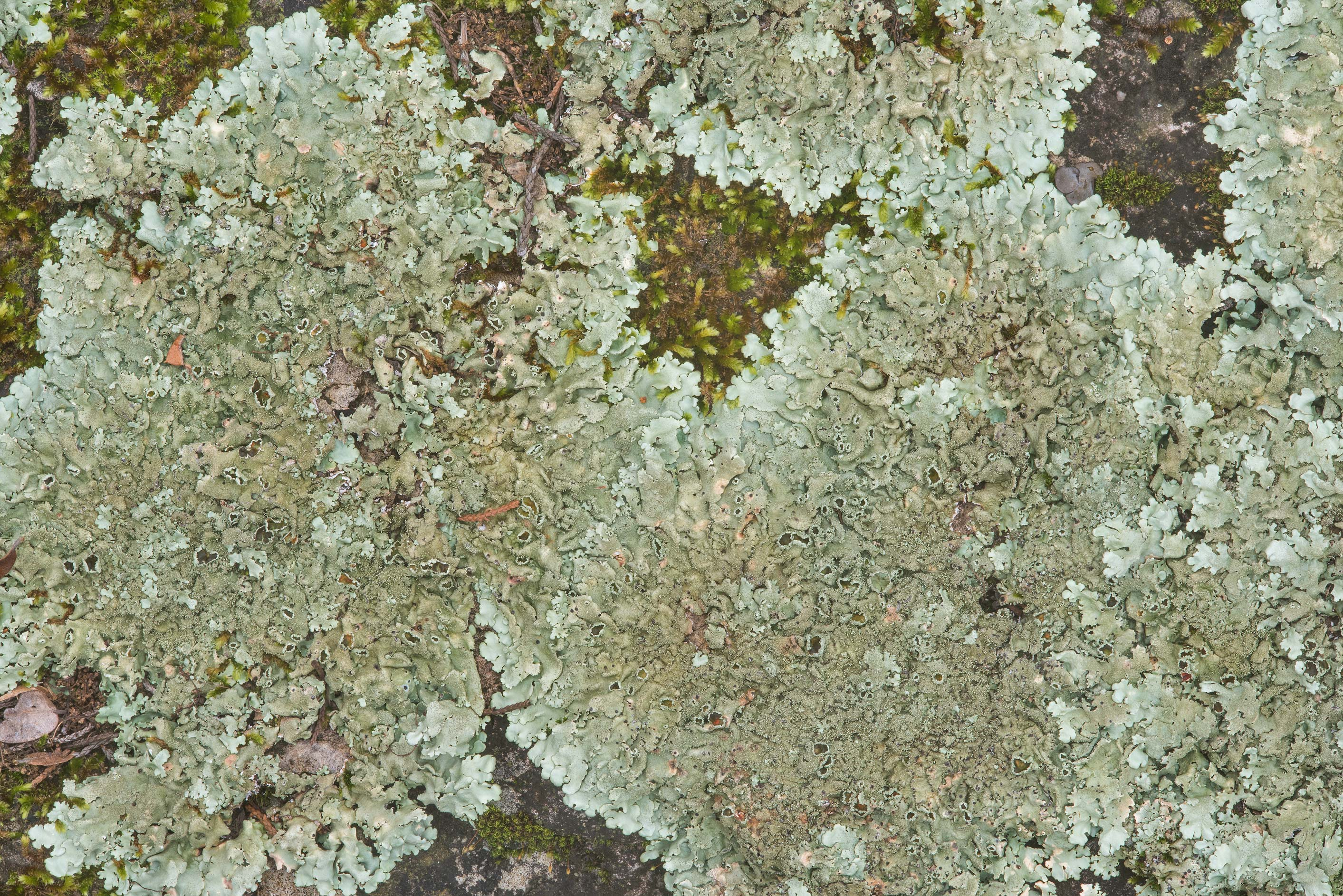 Rock shield lichen (Xanthoparmelia) on limestone...Falls State Park. Johnson City, Texas