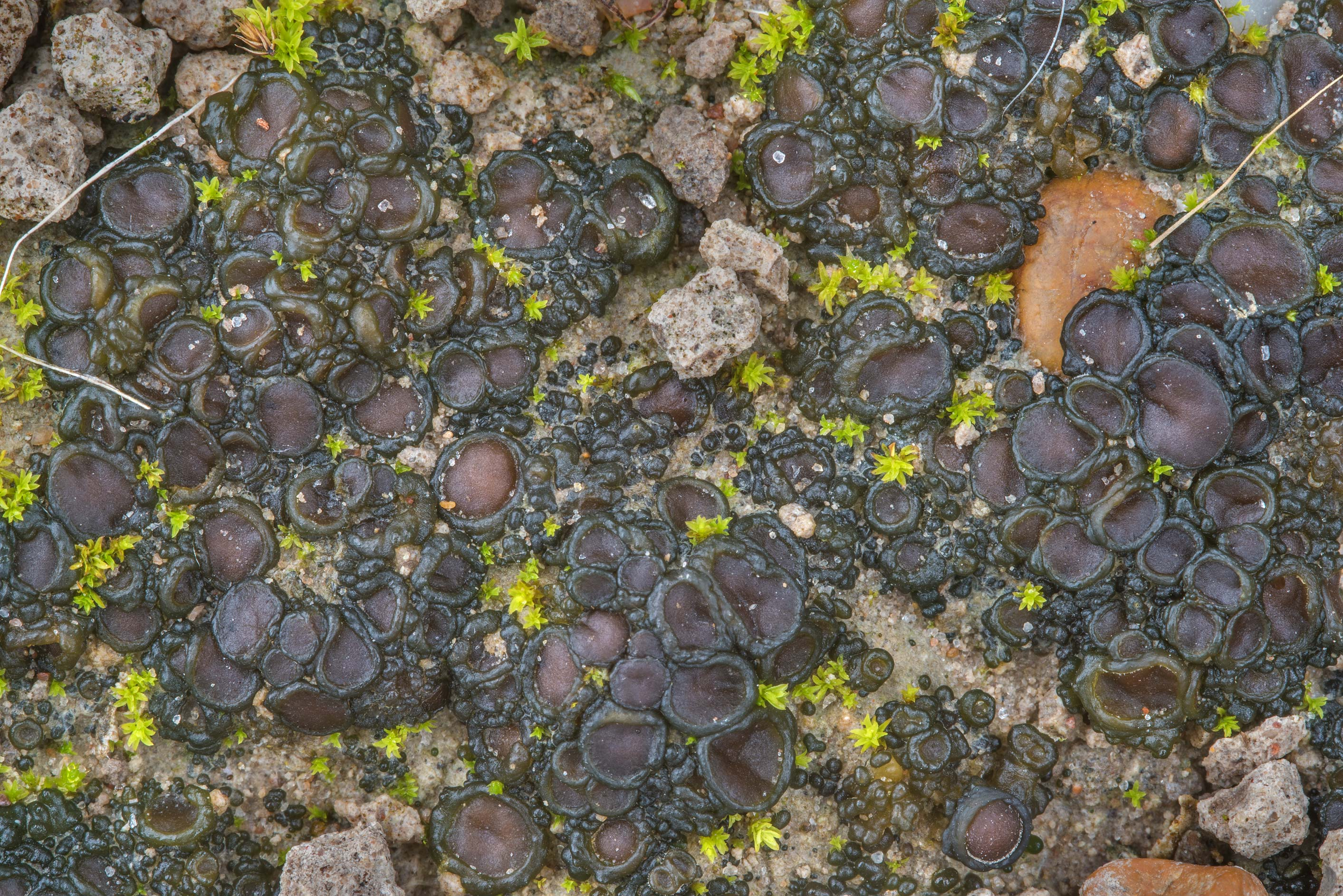 Close up of soil jelly lichen (Collema tenax) on...Ashburn St.. College Station, Texas
