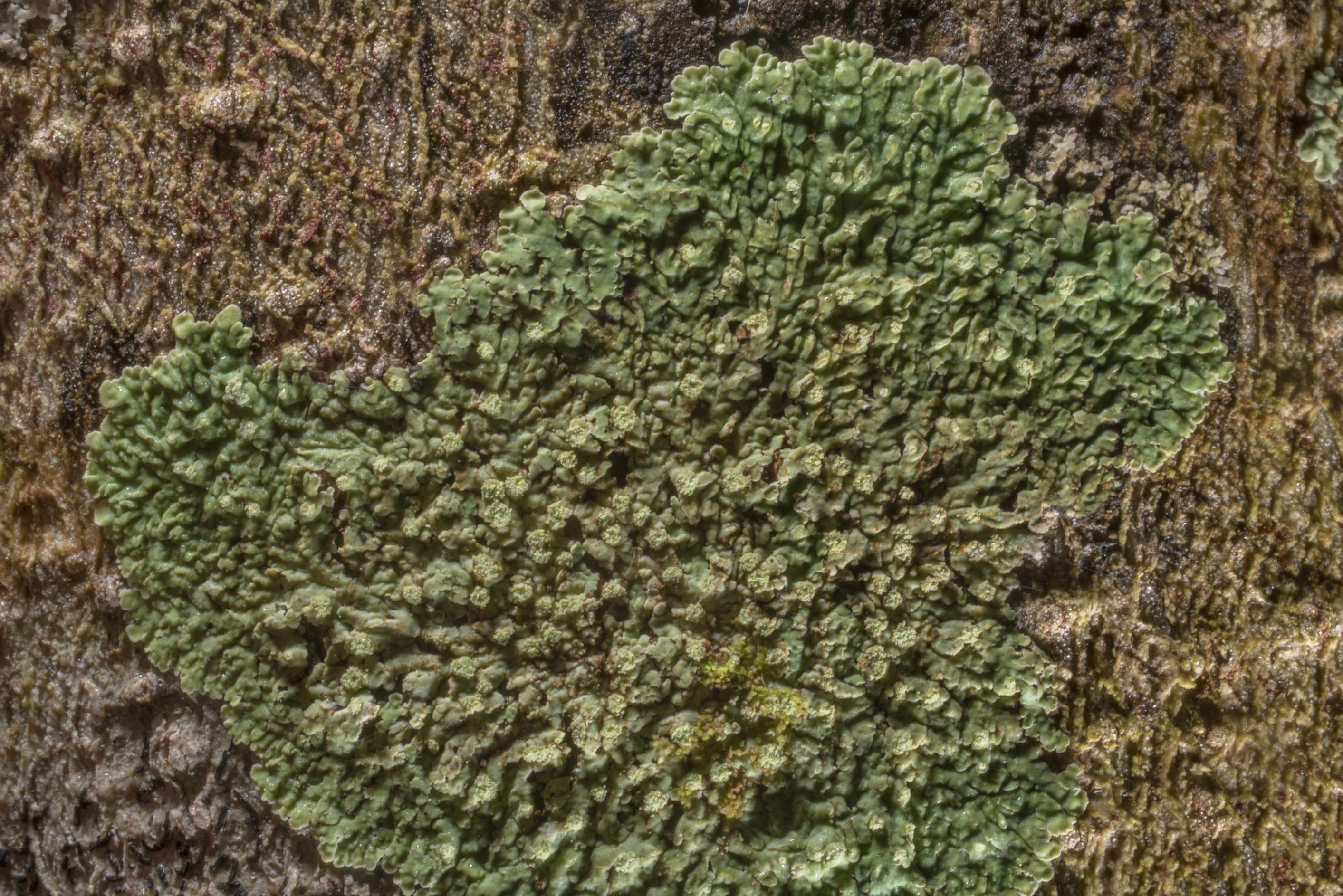 Powdery medallion lichen (Dirinaria applanata) on...Creek Park. College Station, Texas