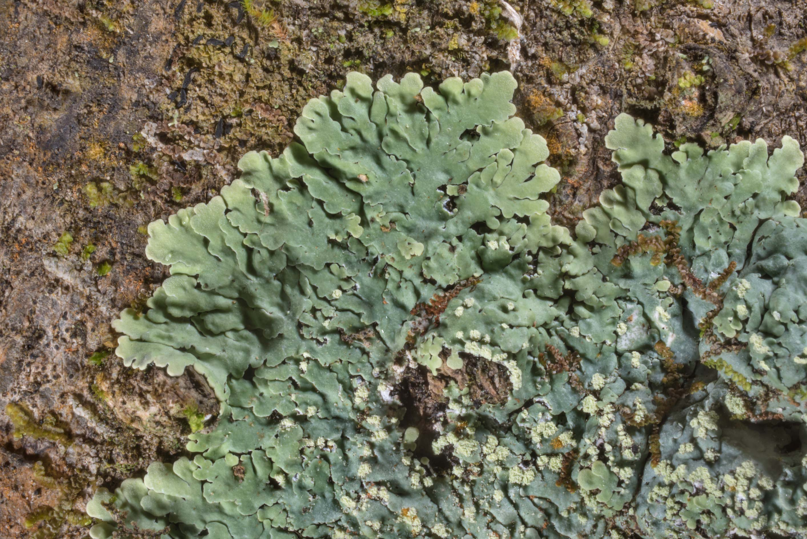 Powdery medallion lichen (Dirinaria applanata) in Lick Creek Park. College Station, Texas