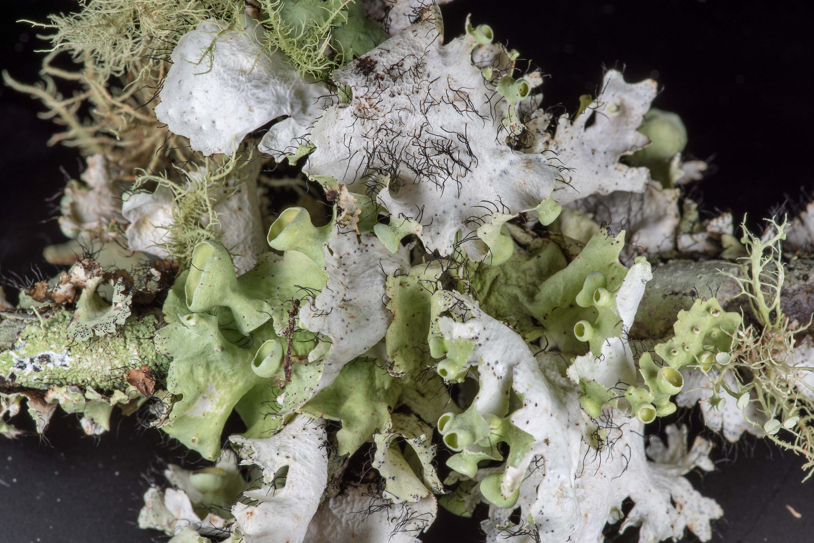 Underside of perforated ruffle lichen (Parmotrema...Creek Park. College Station, Texas