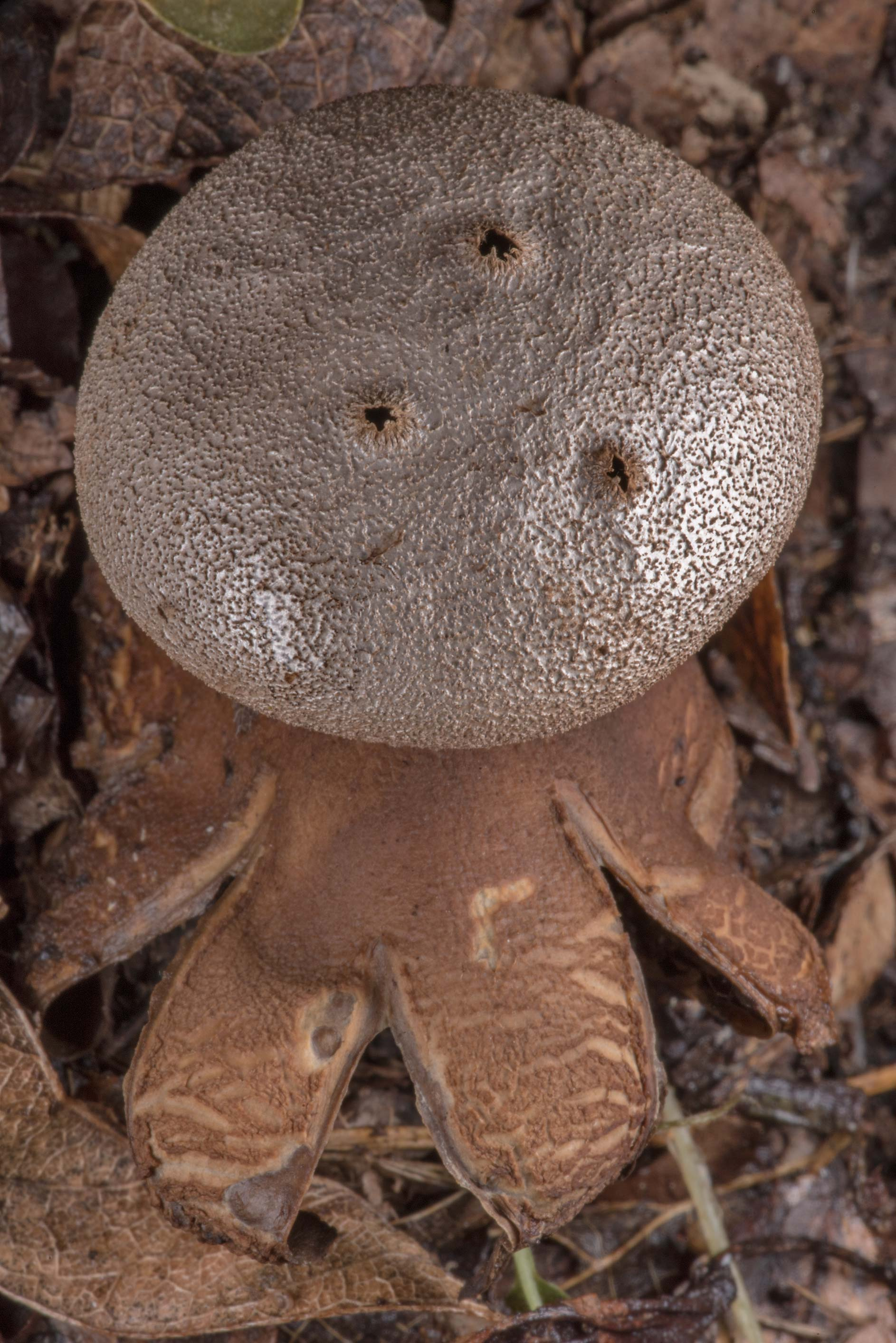 Pepper pot earthstar mushroom (Myriostoma...State Historic Site. Washington, Texas